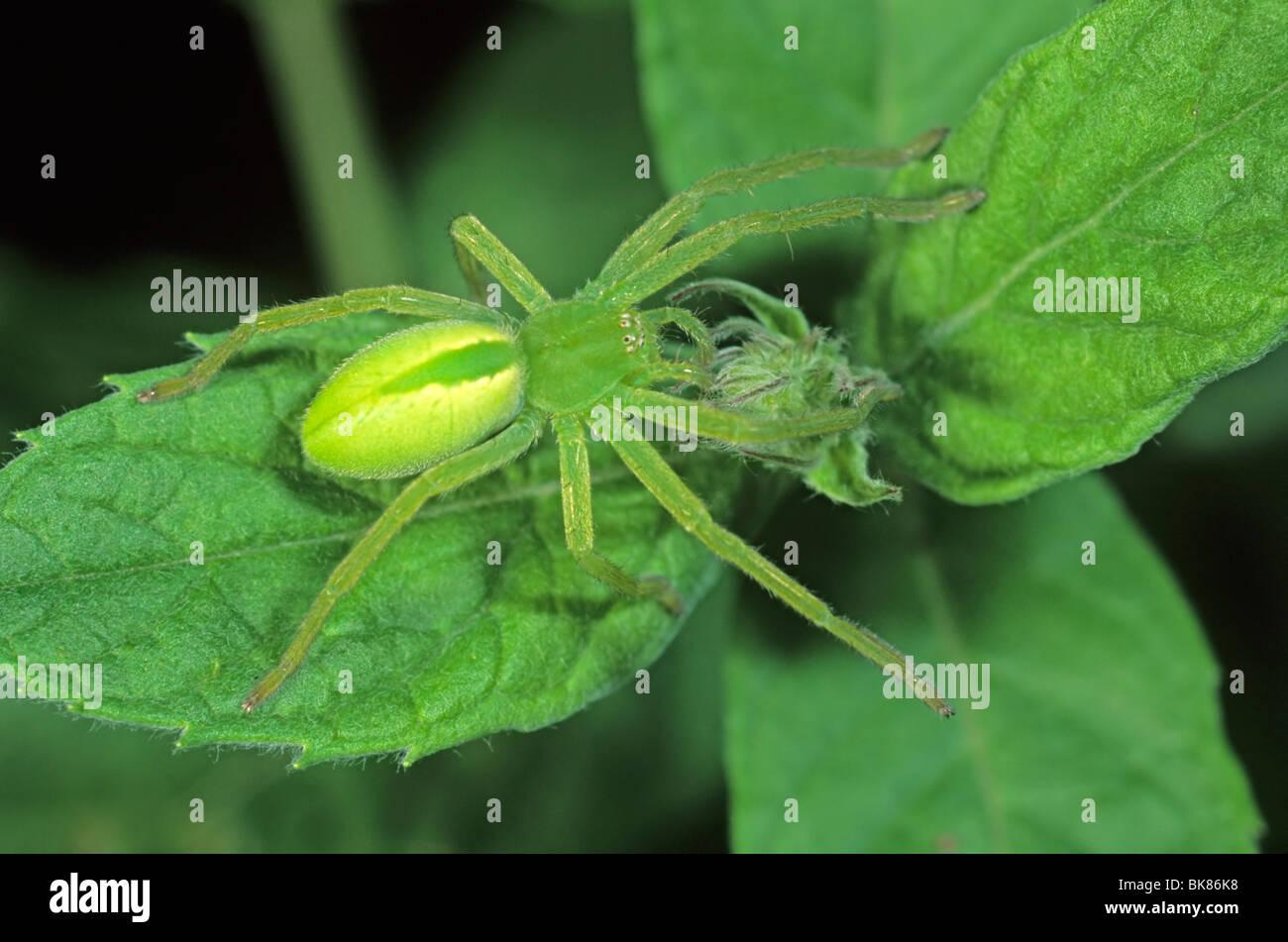 Grüne Jäger Spider (Micromata Roseum), Weibchen Stockbild