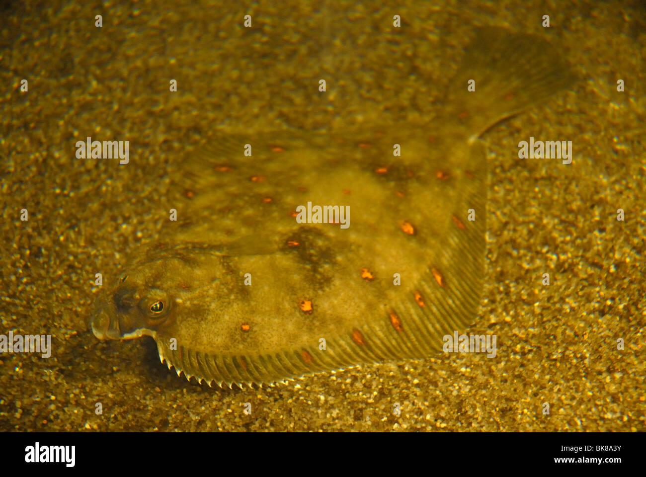 Scholle, Scholle (pleuronectes platessa) Stockbild
