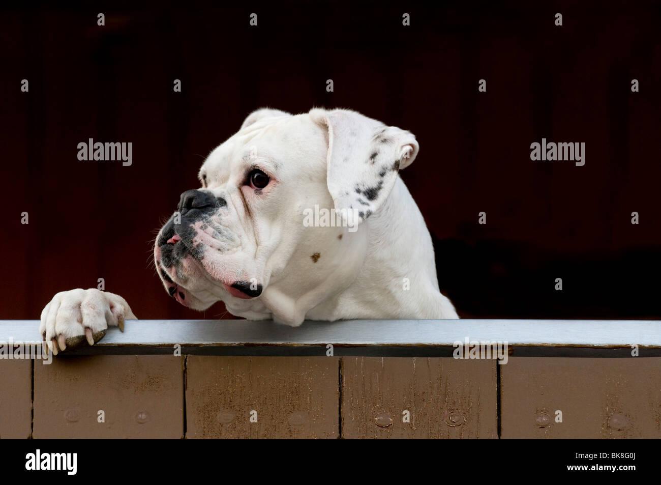 Weiße Boxer suchen über einen Zaun Stockbild