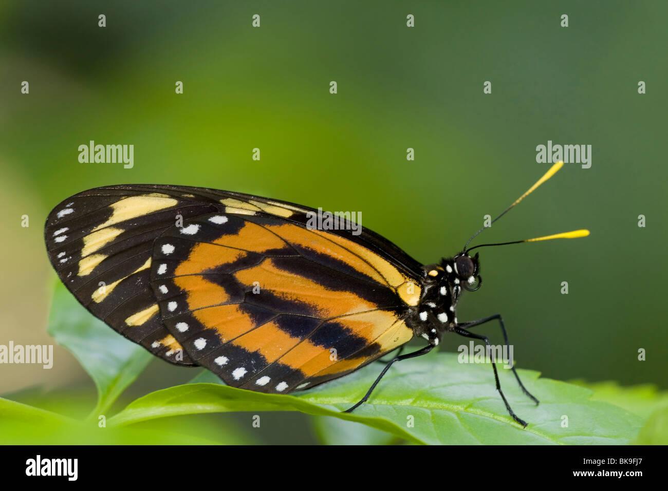 Tiger Mimik-Königin Schmetterling (Lycorea Cleobaea) hocken auf einem Blatt Stockbild