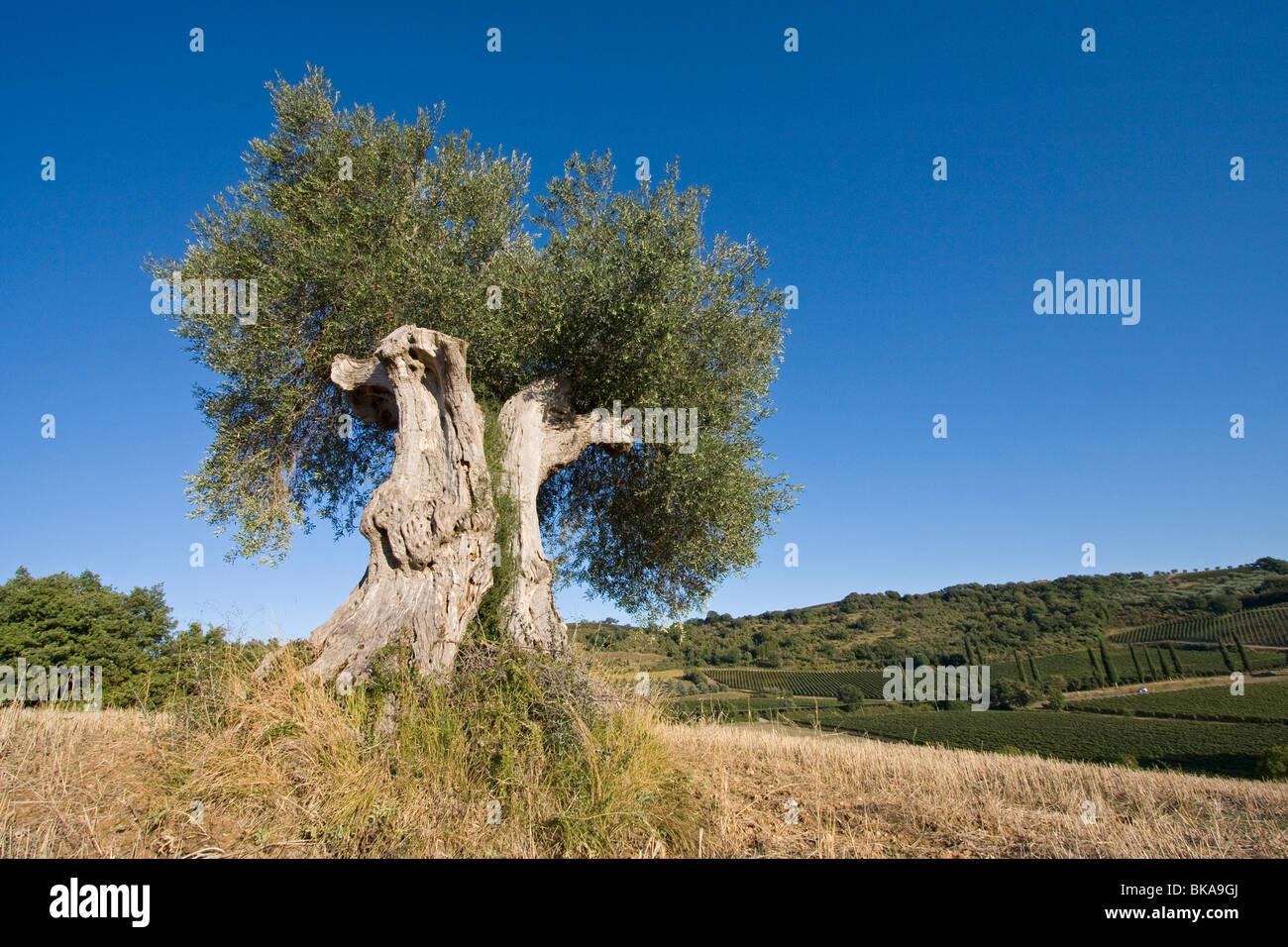 Alter Olivenbaum, Italien, Tuscany Stockbild