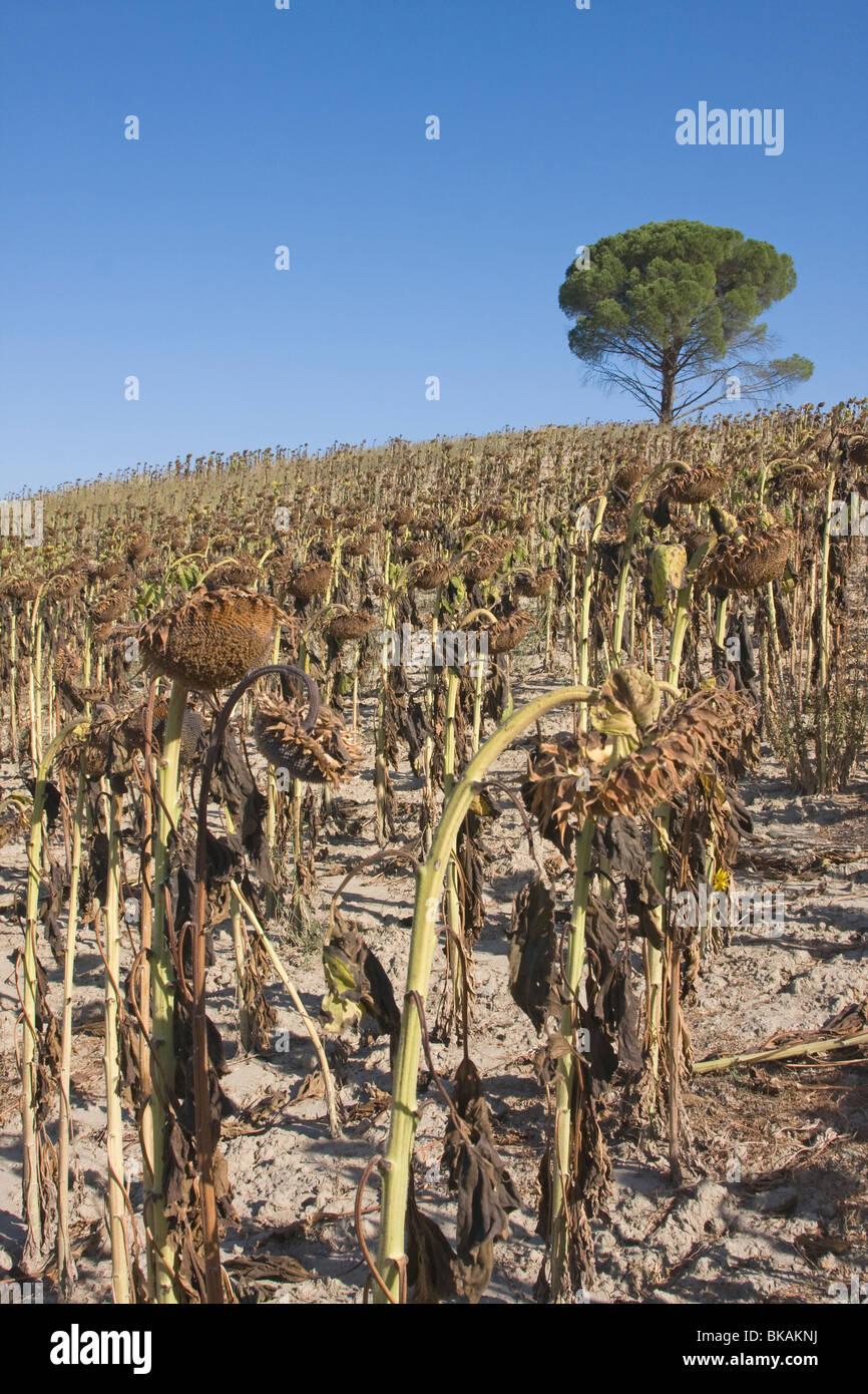 Dehydriertes Sonnenblumenfeld in der Toskana, Italien Stockbild