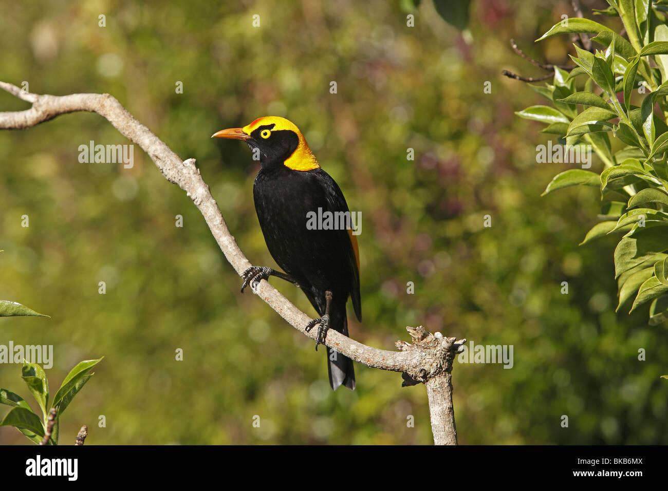 Regent-Laubenvogel (Sericulus Chrysocephalus), thront auf einem Zweig männlich. Stockbild