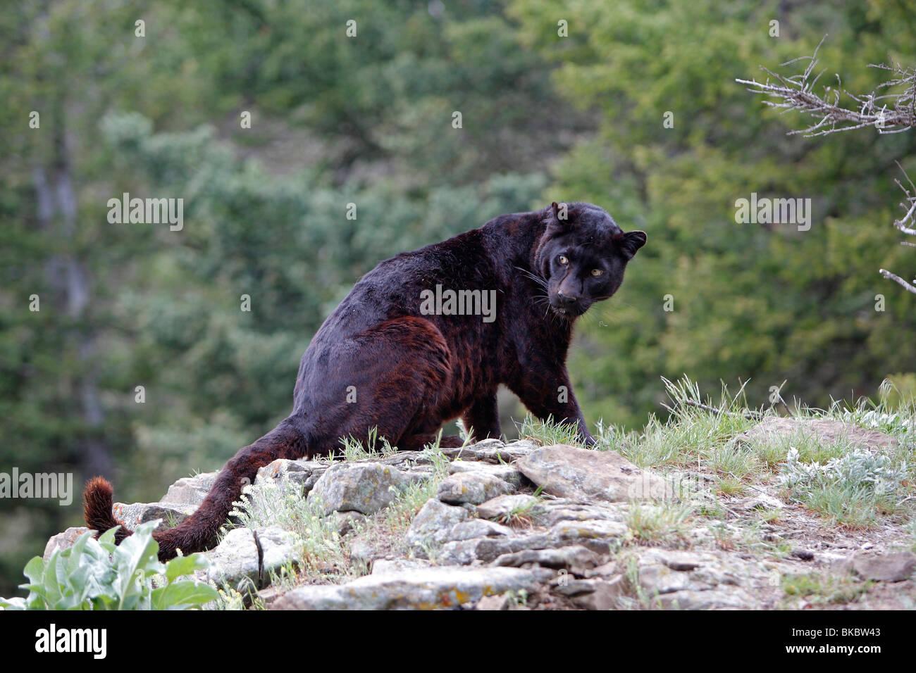 black panther panthera pardus stockfotos black panther panthera pardus bilder alamy. Black Bedroom Furniture Sets. Home Design Ideas