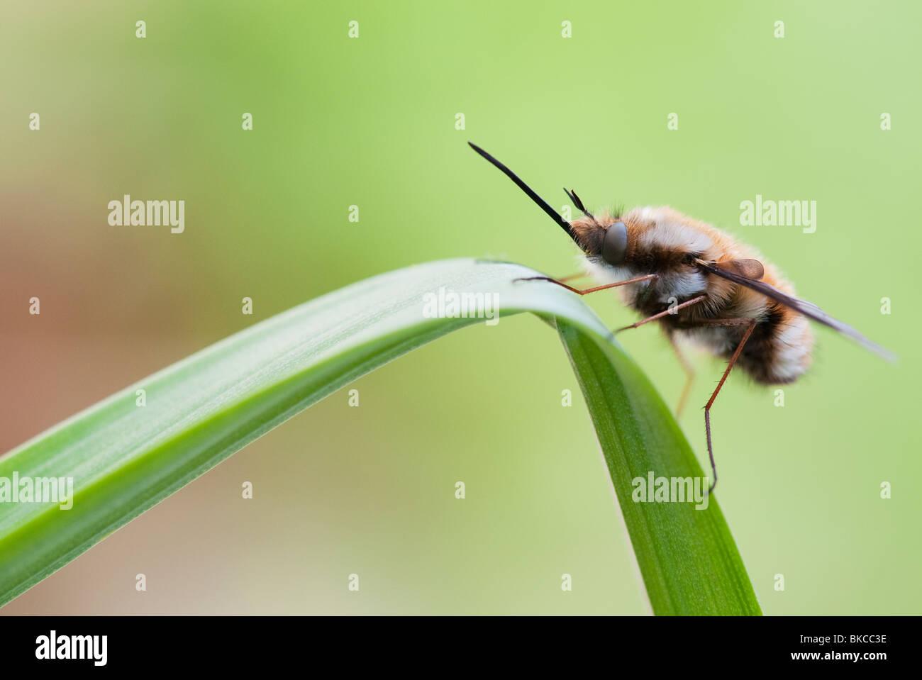 Bombylius großen. Bee Fly ruht auf einem Blatt Stockbild
