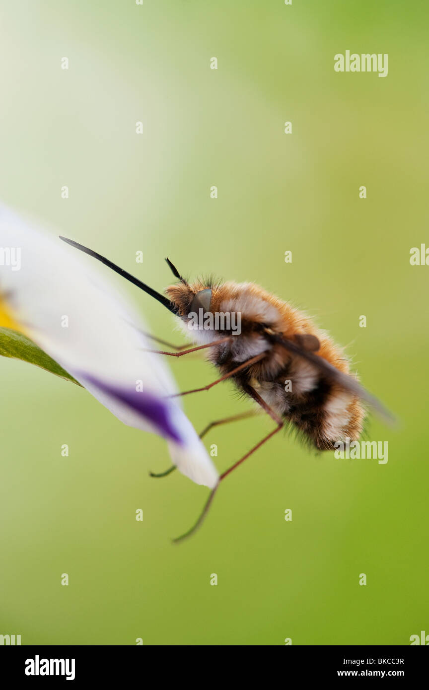 Bombylius Major. Große Biene Fliege/dunkel umrandete Biene-fly ruht auf einer Blume Stockbild