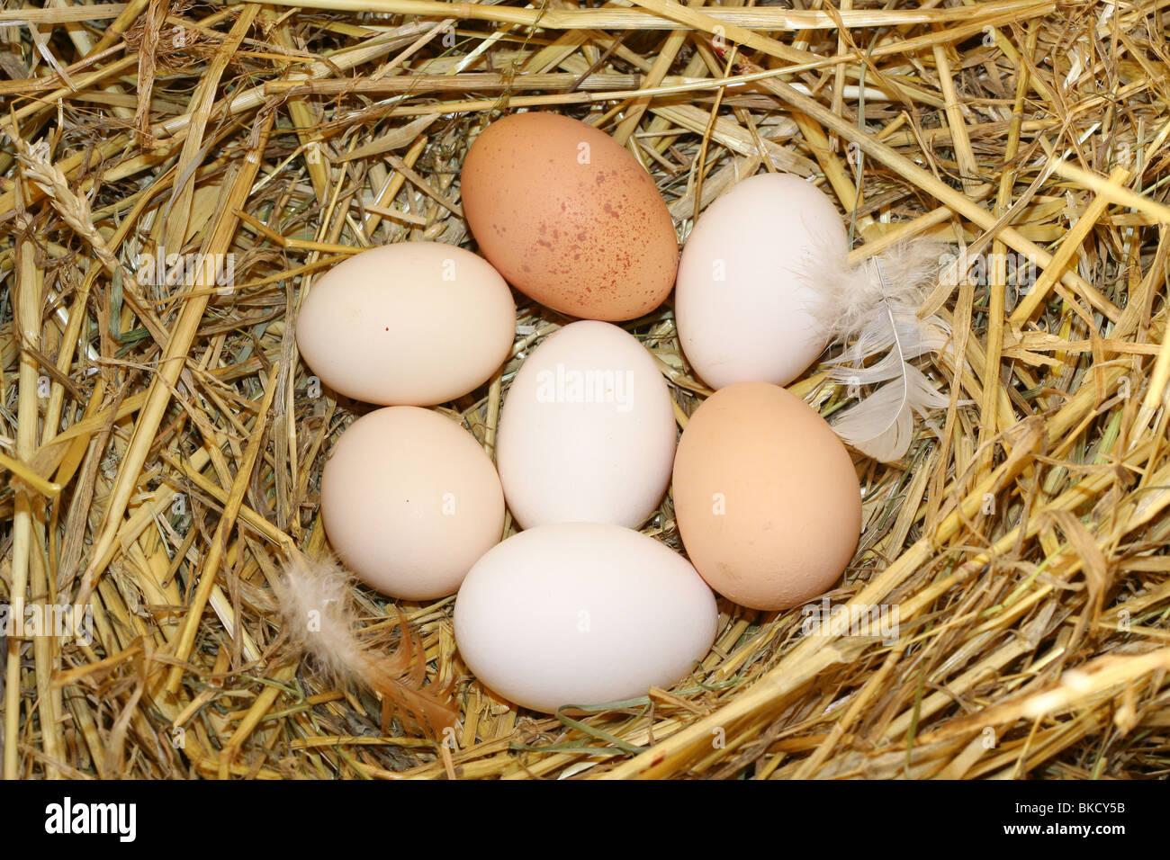 Frischen Eiern im nest Stockfoto