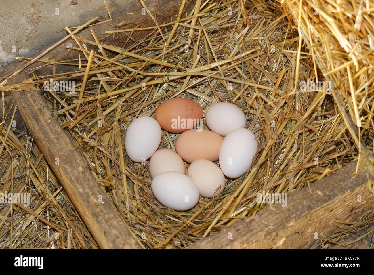 Frischen Eiern im nest Stockbild