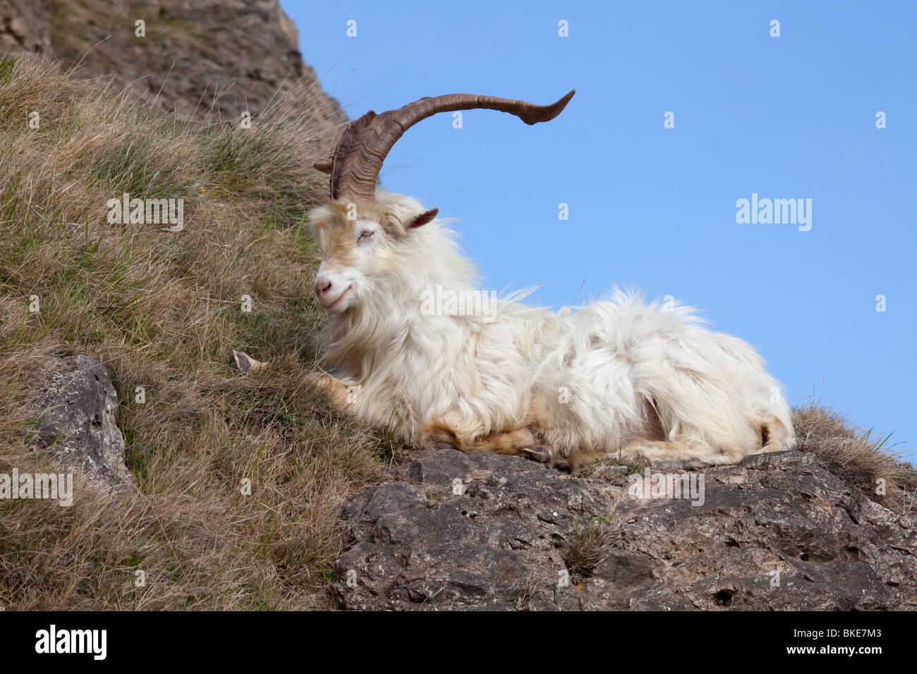 Wilde Kaschmir Ziege Capra Falconeri Cashmiriensis sitzen auf der Great Orme Landzunge in Llandudno Nord-Wales Stockbild
