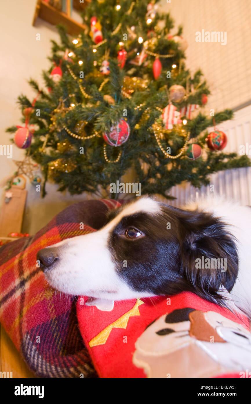 Ein Border-Collie Hund liegend unter einem Weihnachtsbaum mit einem ...