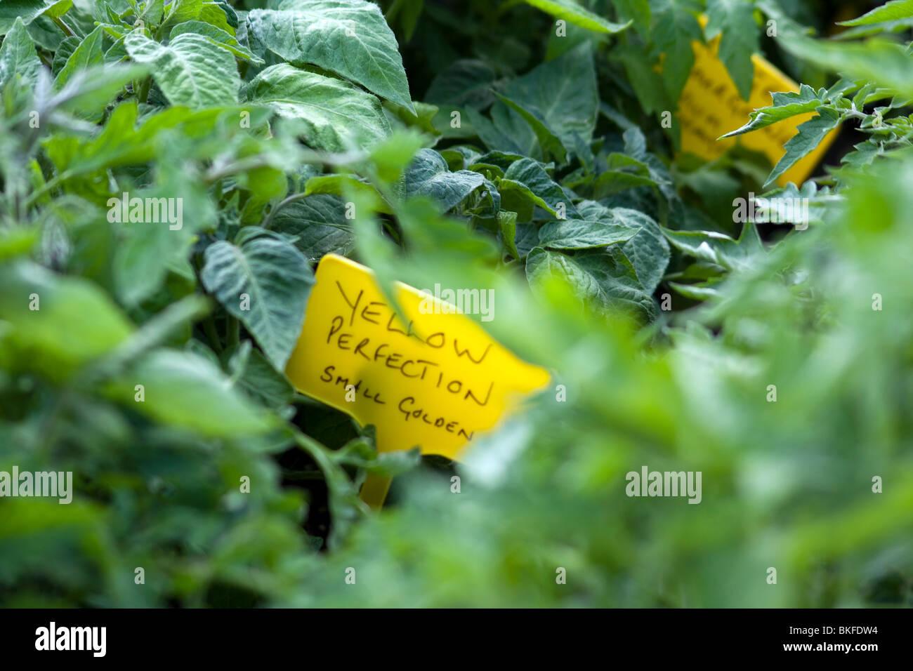 Tomatenpflanzen gelbe Perfektion Stockbild