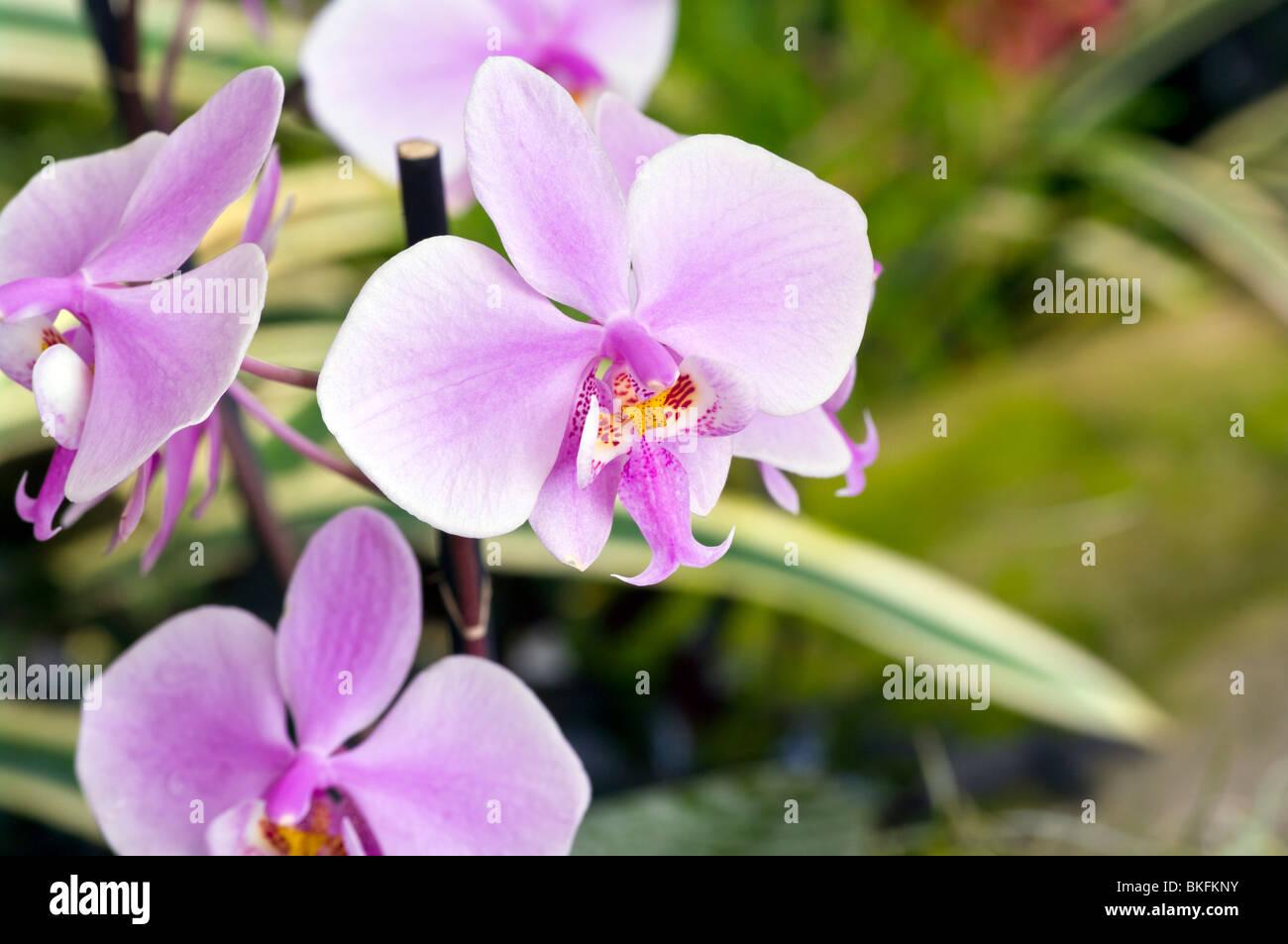 Orchideen Phalaenopsis Schilleriana Stockbild