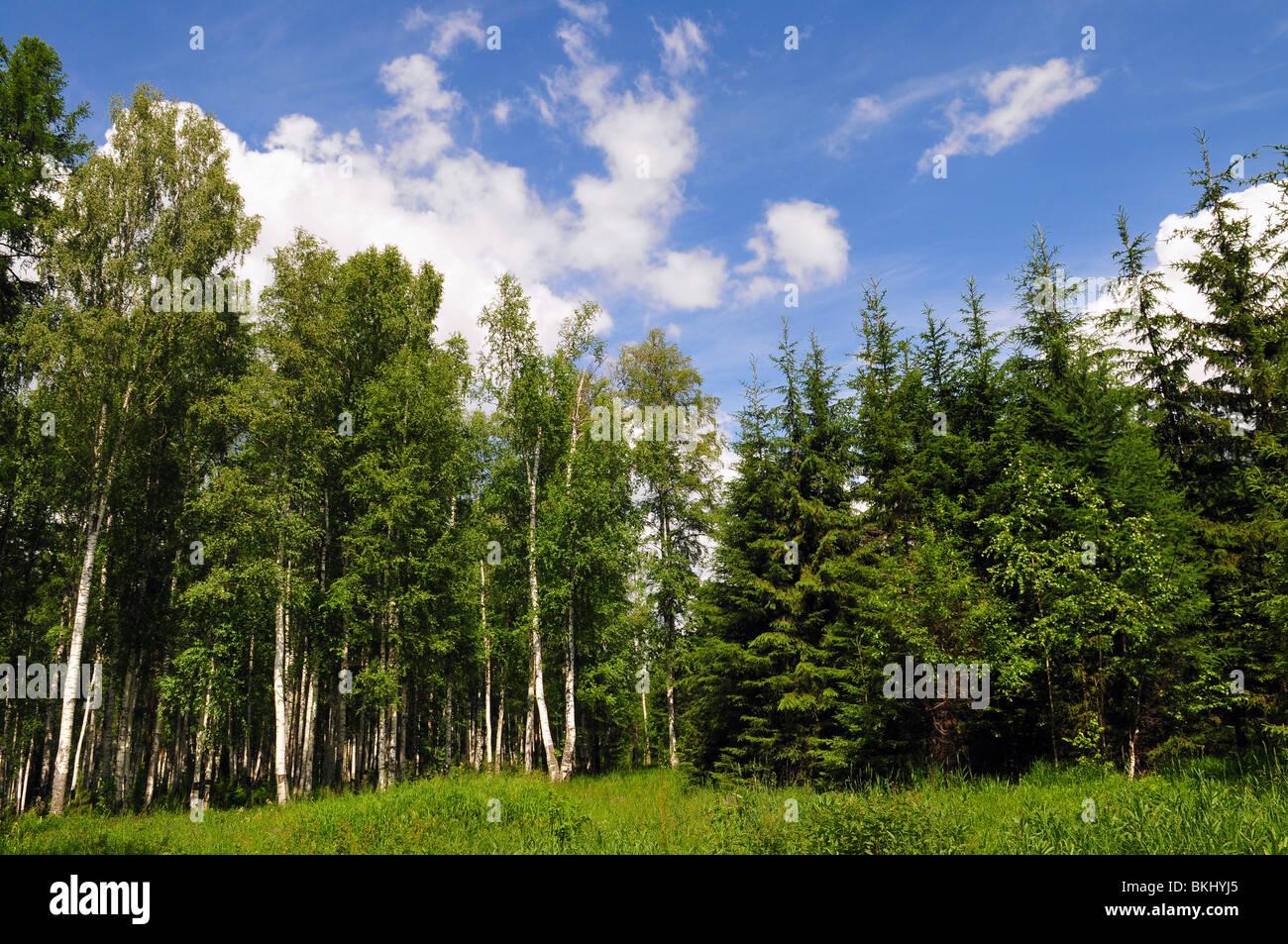 Sommerlandschaft des jungen grünen Wald mit strahlend blauem Himmel Stockbild