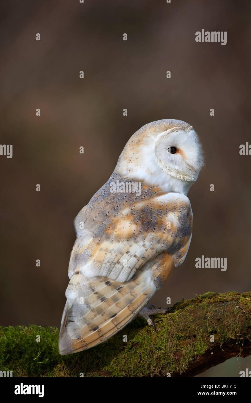 Schleiereule, Tyto Alba; auf einem Ast; Cornwall (Gefangener Vogel) Stockbild