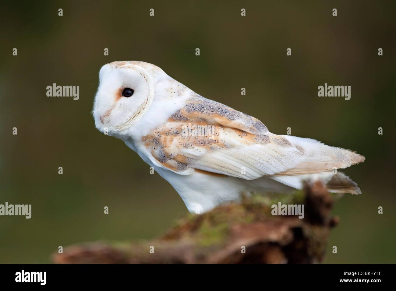 Schleiereule, Tyto Alba; auf einem Ast; Cornwall Stockbild