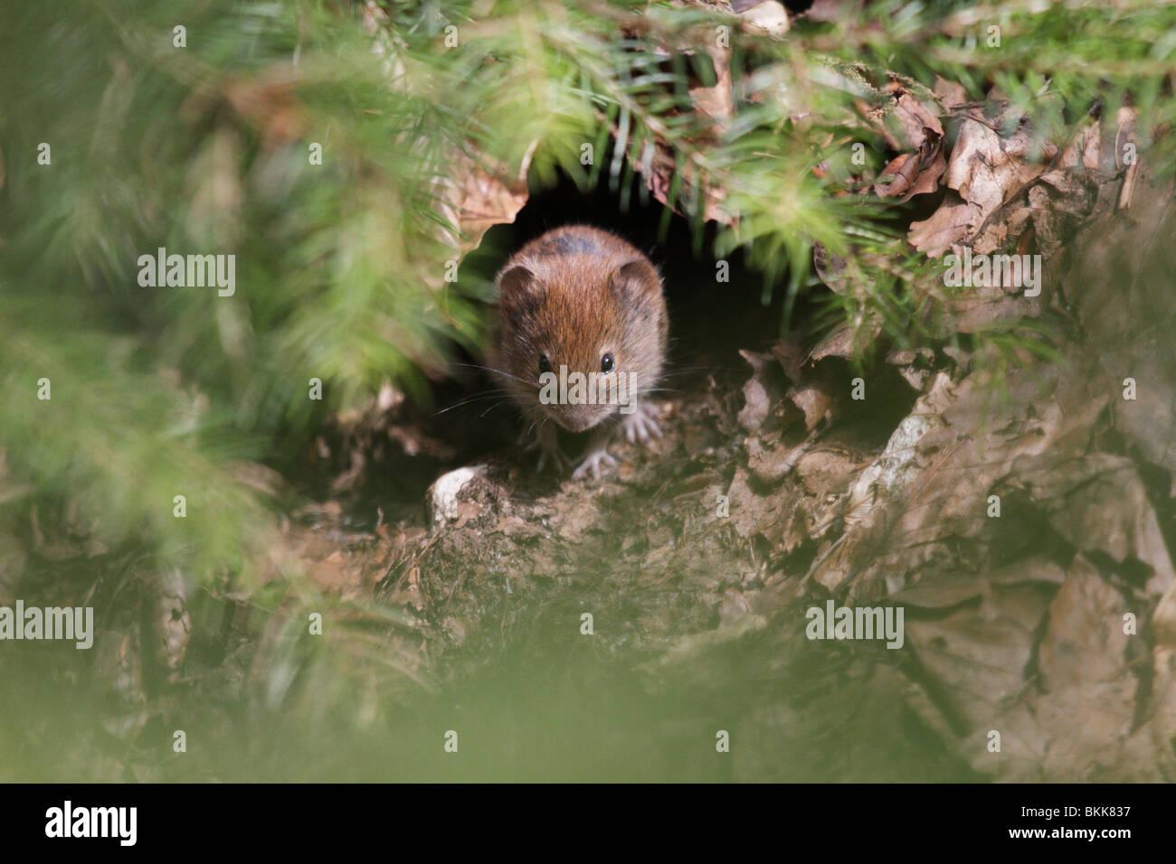 Bank Wühlmaus Maus (Myodes Glareolus) in seinem natürlichen Lebensraum. Sie sind (ziemlich niedlich) Vektoren Stockbild