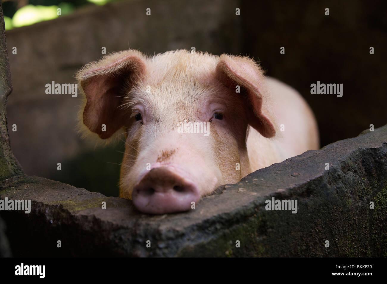 Schwein im Stift Stockbild