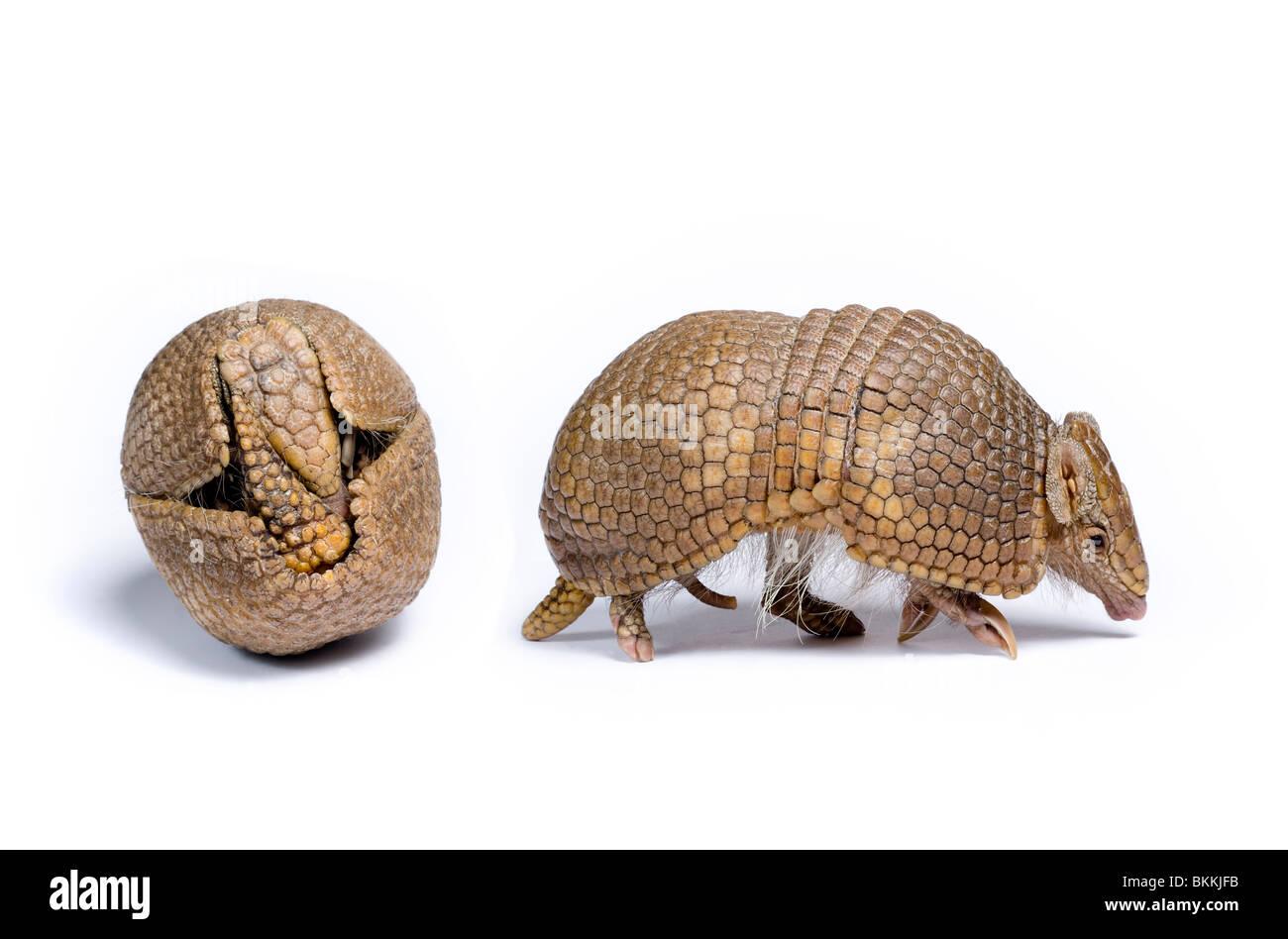 Drei-banded Armadillo (Tolypeutes Tricinctus) gefangen Stockbild