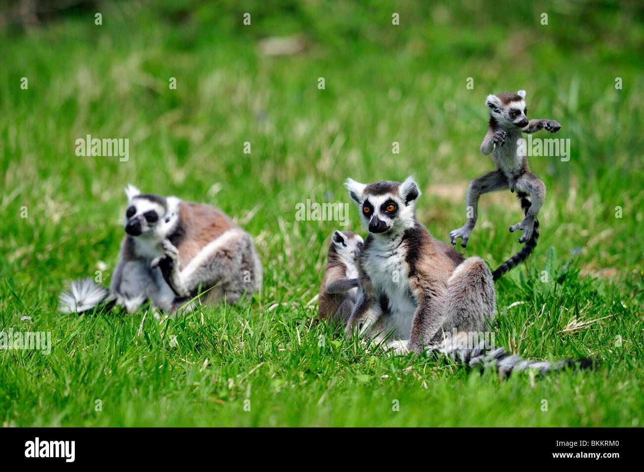 Lemur Lustige Familie Stockfotos Lemur Lustige Familie Bilder Alamy