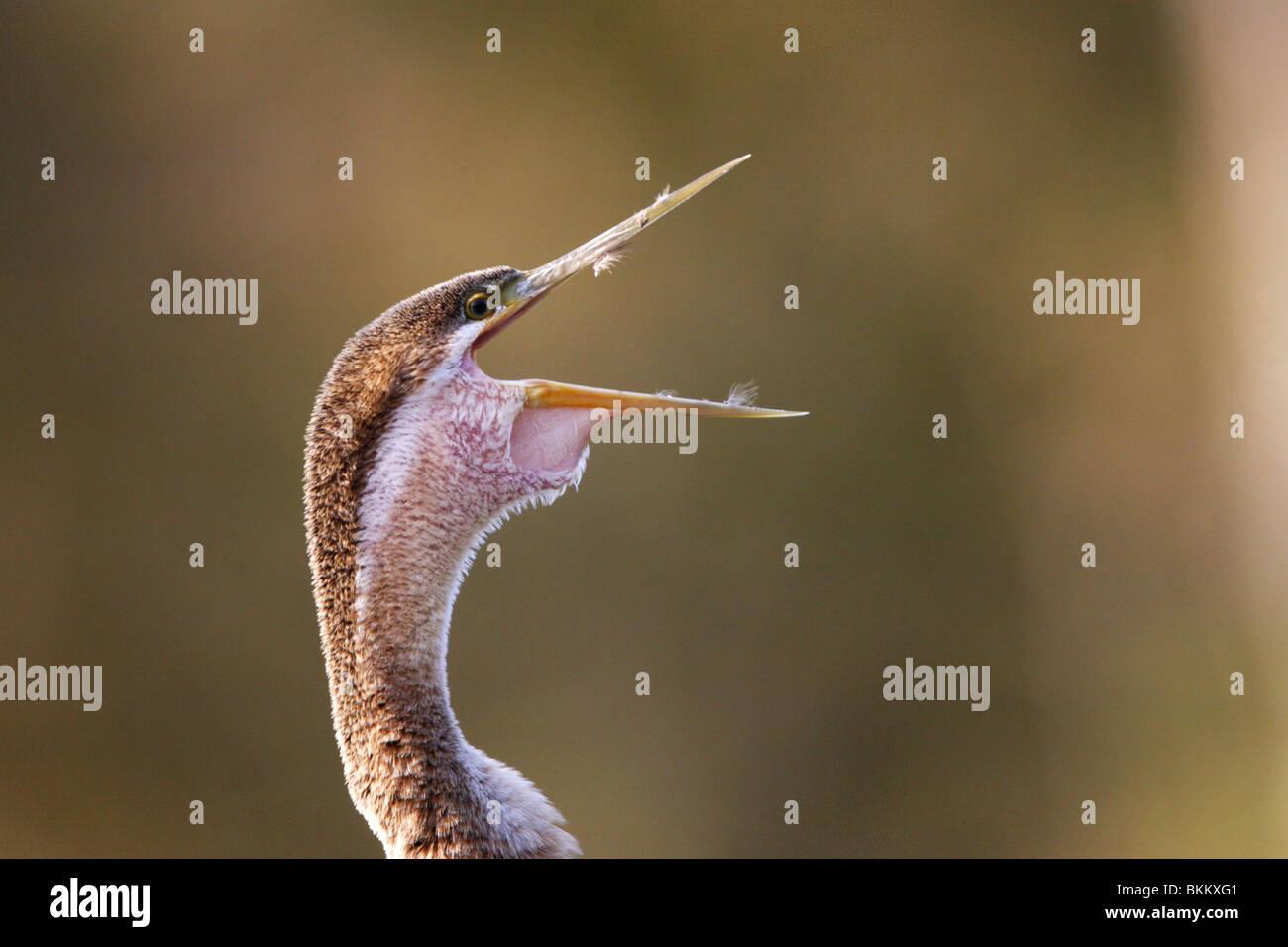 Afrikanischen Darter Vogel, mit der Aufforderung, Kruger Park, Südafrika Stockbild