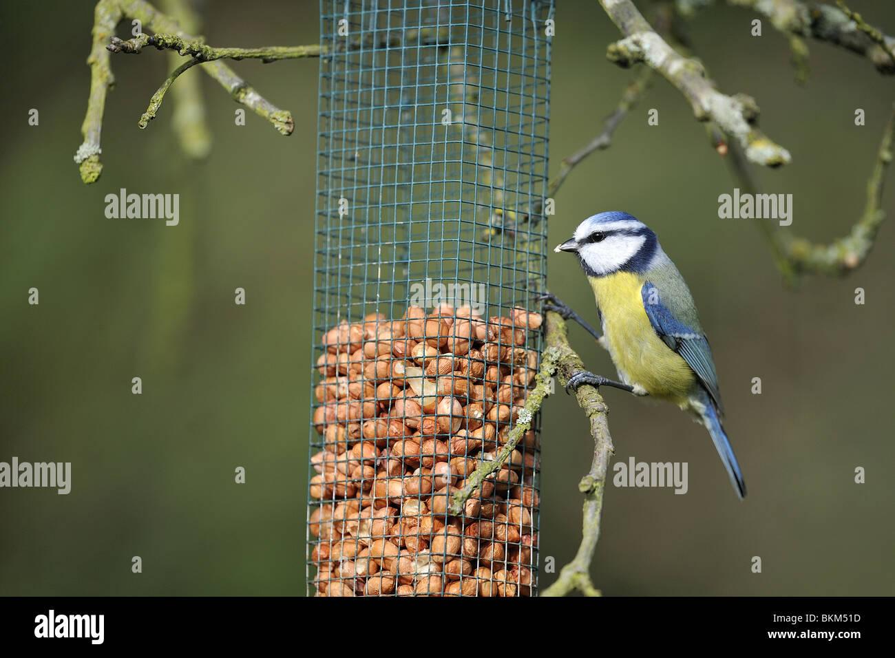 blaumeise essen erdnüsse in eine futterstation vögel stockfoto, bild