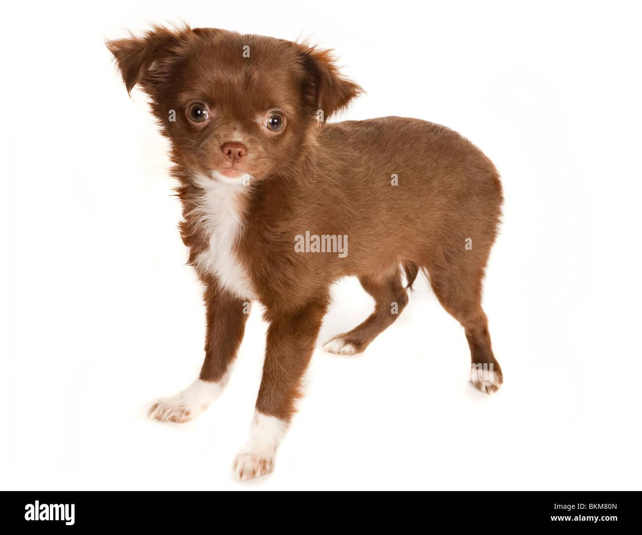 Longhaired Chihuahua Puppy Stockfotos Und Bilder Kaufen Alamy