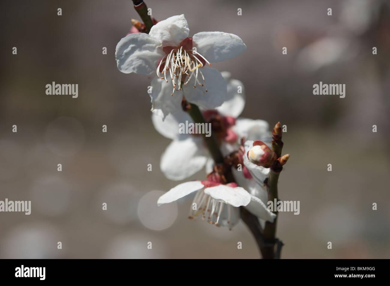 Ume (Prunus Mume) blühen im Frühjahr in Japan Stockbild