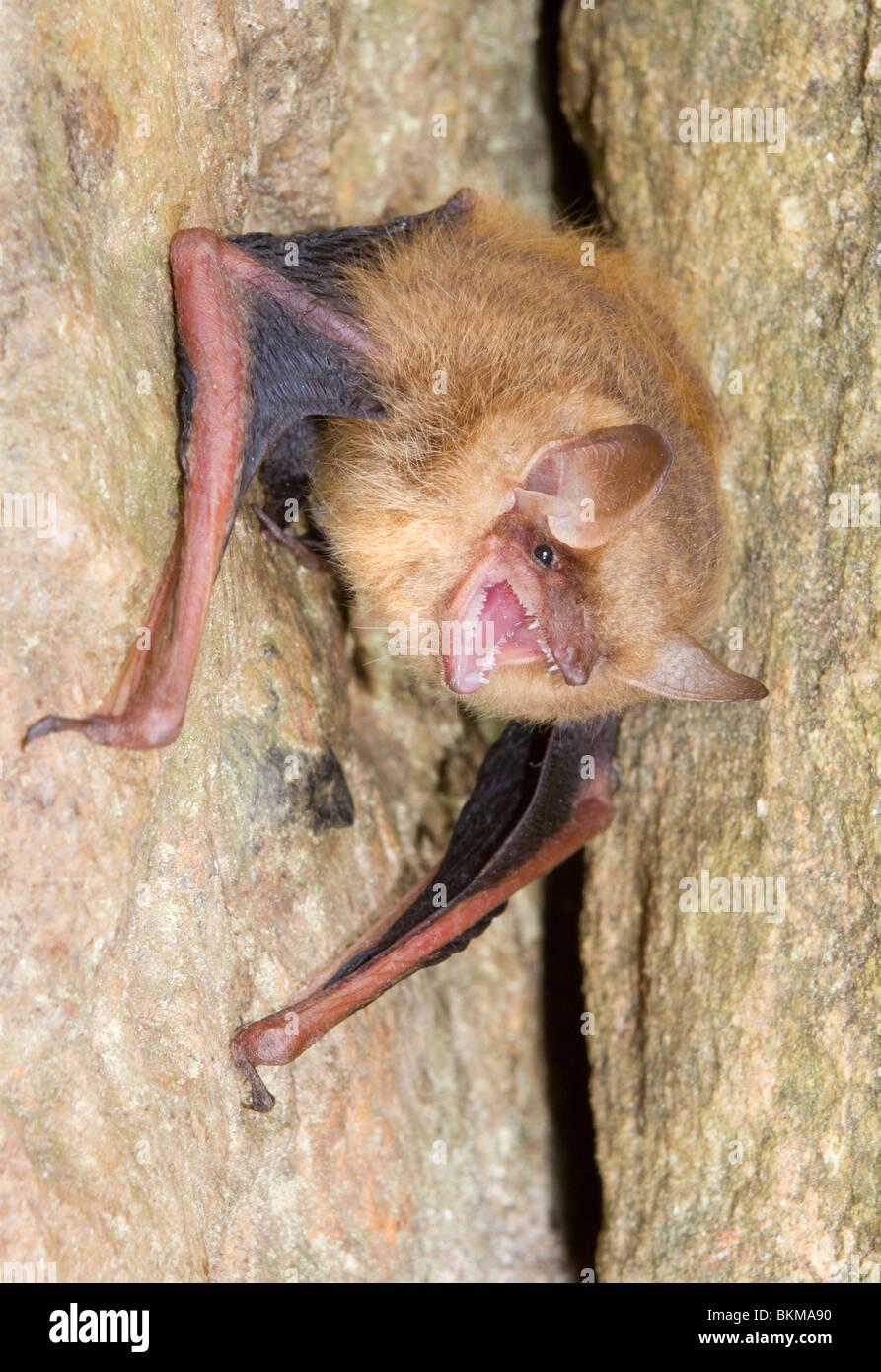 Dreifarbige bat- oder östlichen pipistrelle (Pipistrellus [Perimyotis] subflavus), Georgia, USA.. Stockbild
