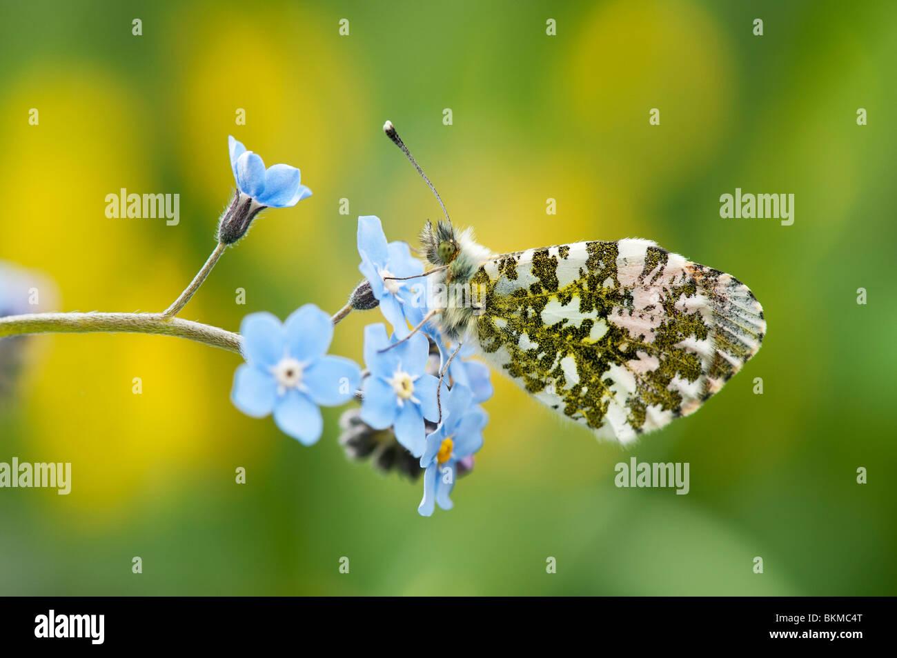 """Anthocharis cardamines. Orange Tip butterfly ruht auf """"Vergiss mich nicht"""" Blumen in einem Garten Stockbild"""