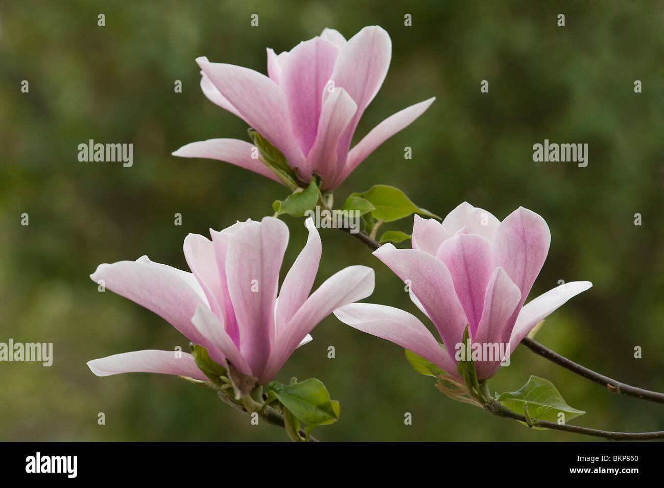 magnolia heaven scent eine sommergr ne magnolie stockfoto bild 29378216 alamy. Black Bedroom Furniture Sets. Home Design Ideas