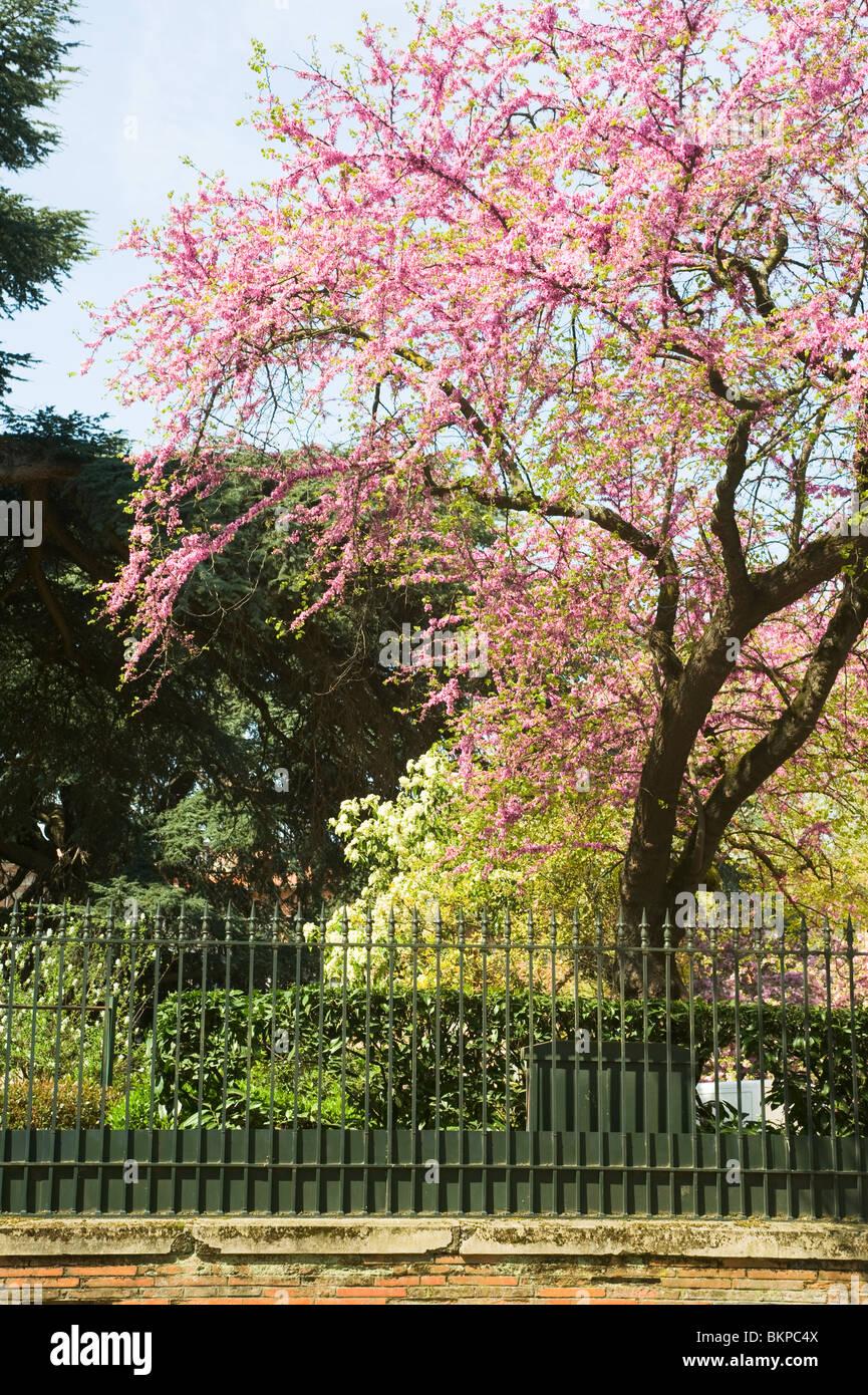 Pink Cherry Blossom Blumen in Allees Verdier Jardin du Grand Rond ...