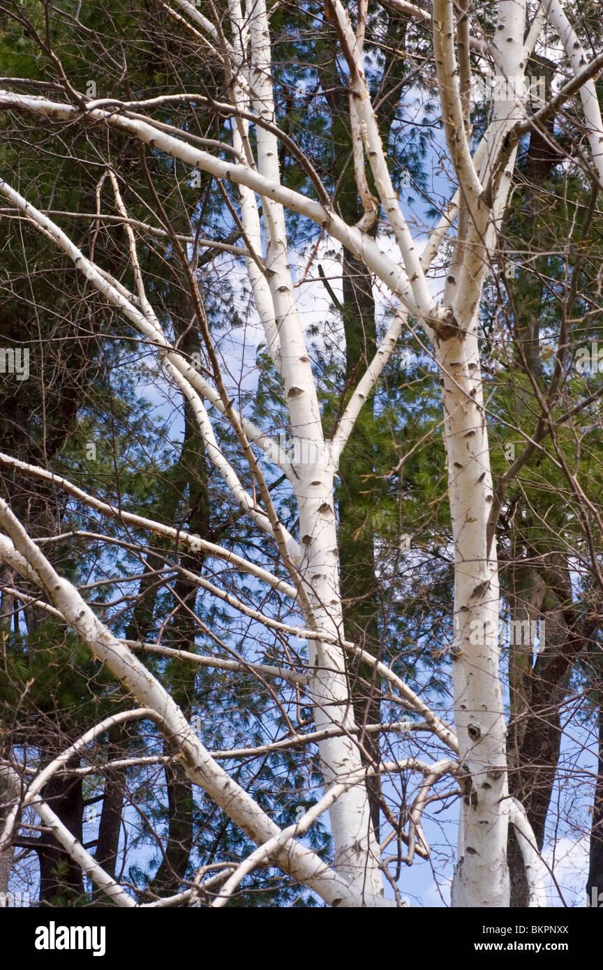 american white birch kanu birke betulaceae birke betula papyrifera papier stockfoto bild. Black Bedroom Furniture Sets. Home Design Ideas