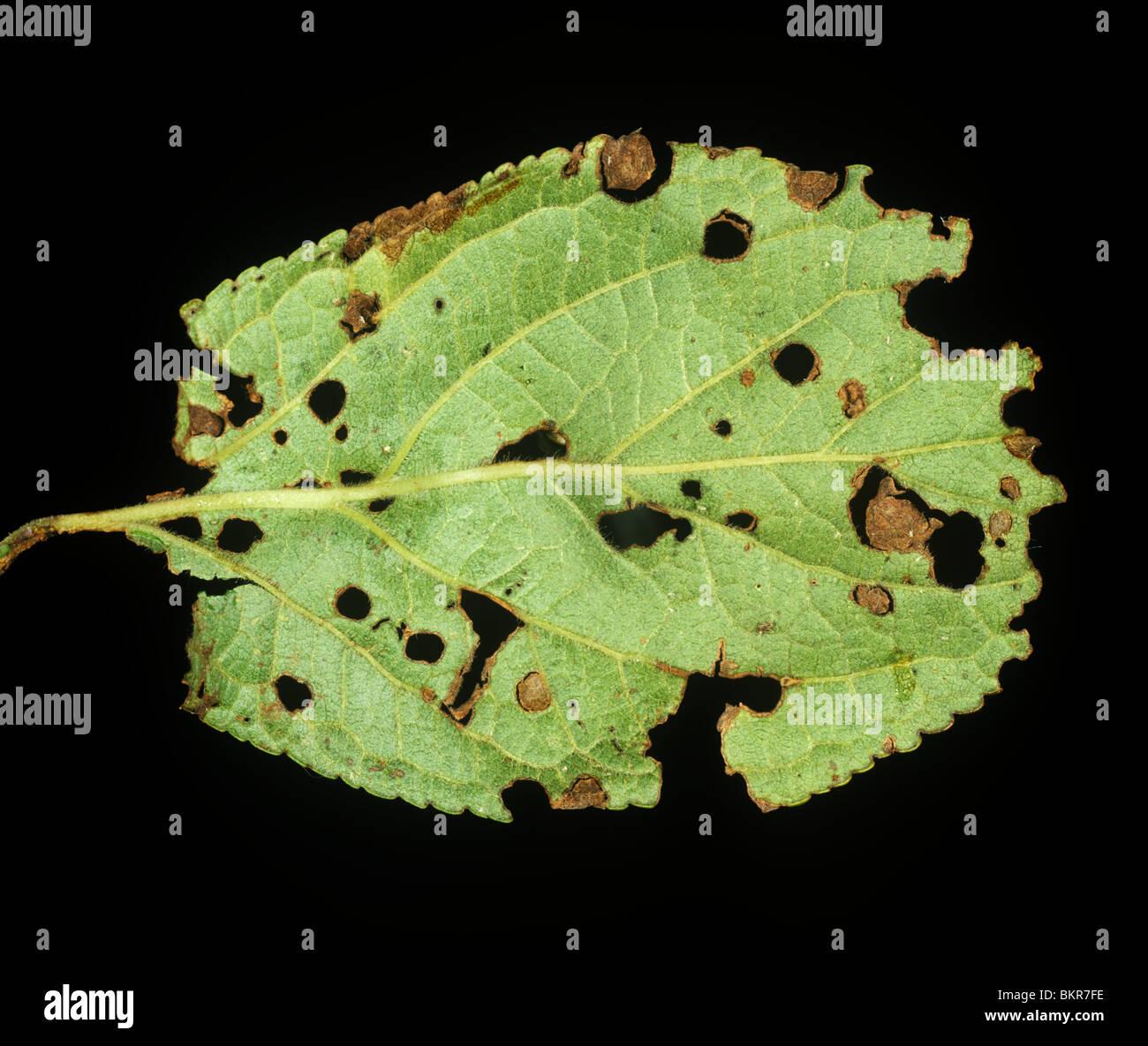 Schuss-Loch Krankheit (Pseudomonas Syringae) Läsionen auf einem Blatt Pflaume Stockbild