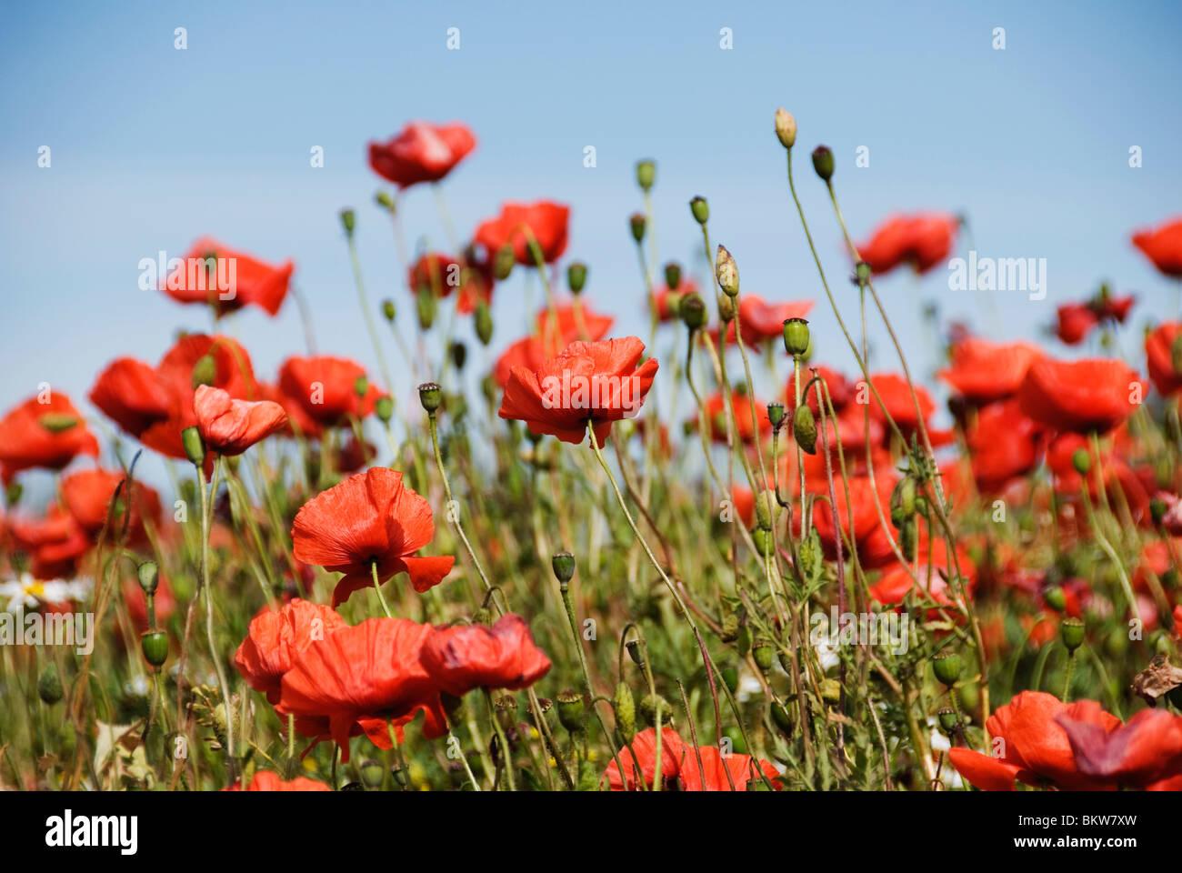 Rote Blume auf der Wiese Stockbild