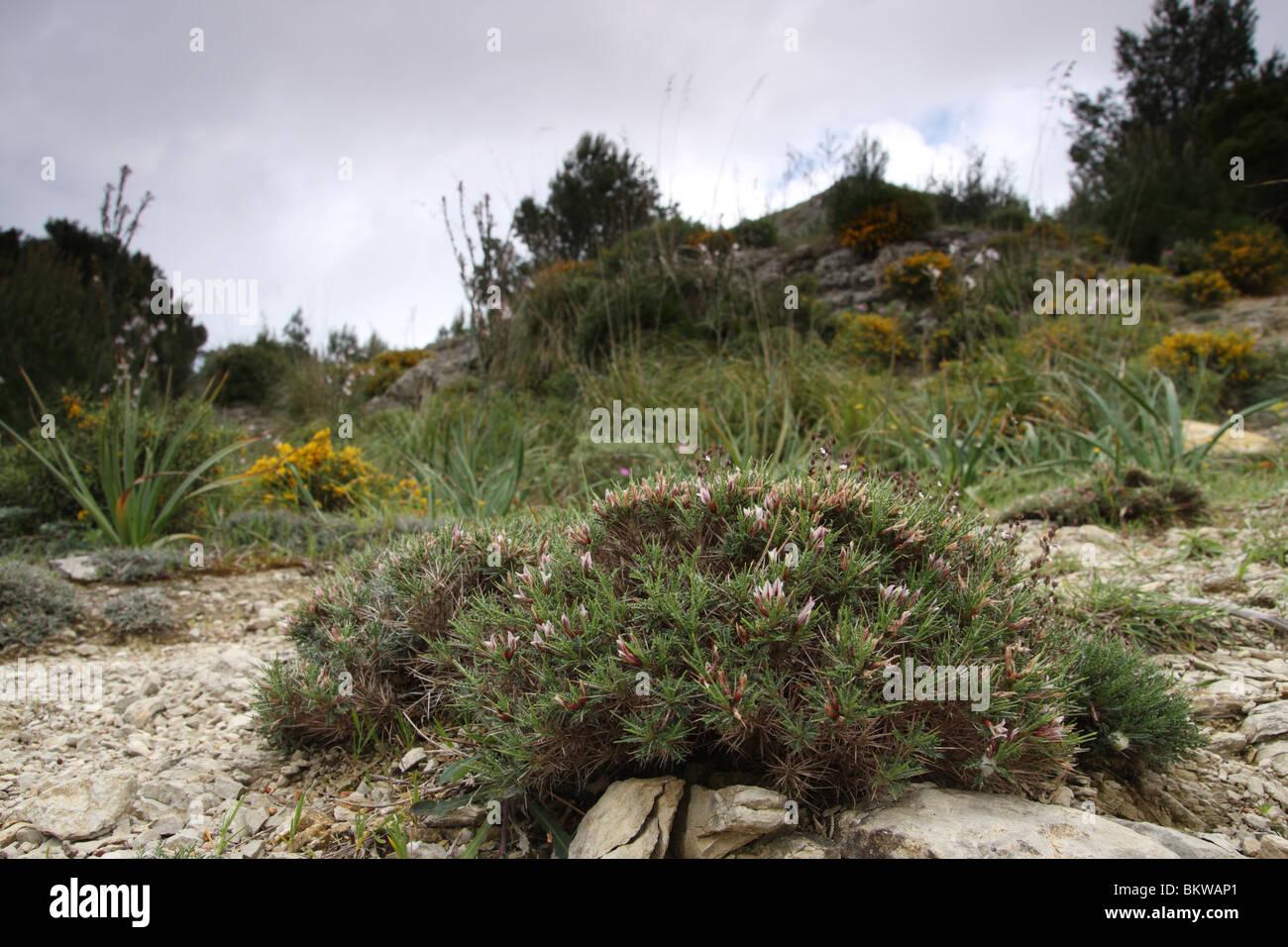 Der Berg im Nordosten von Mallorca, erreichbar über Arta, enthalten sehr herrlichen Pflanzen, darunter eine Stockbild