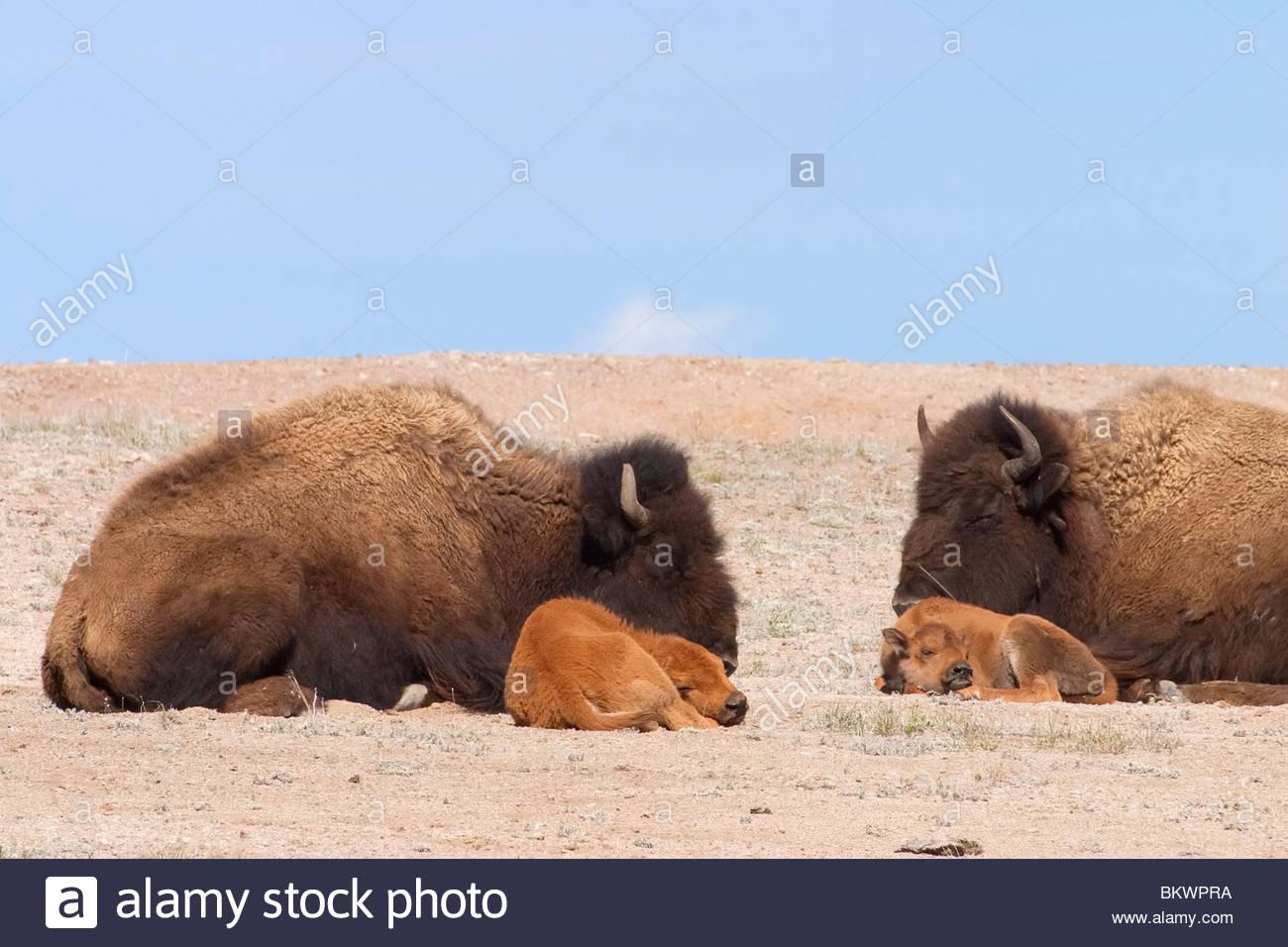 Zwei amerikanische Bisons (Bison Bison) liegen mit ihren Kälbern auf ein offenes Feld im Yellowstone-Nationalpark, Stockbild