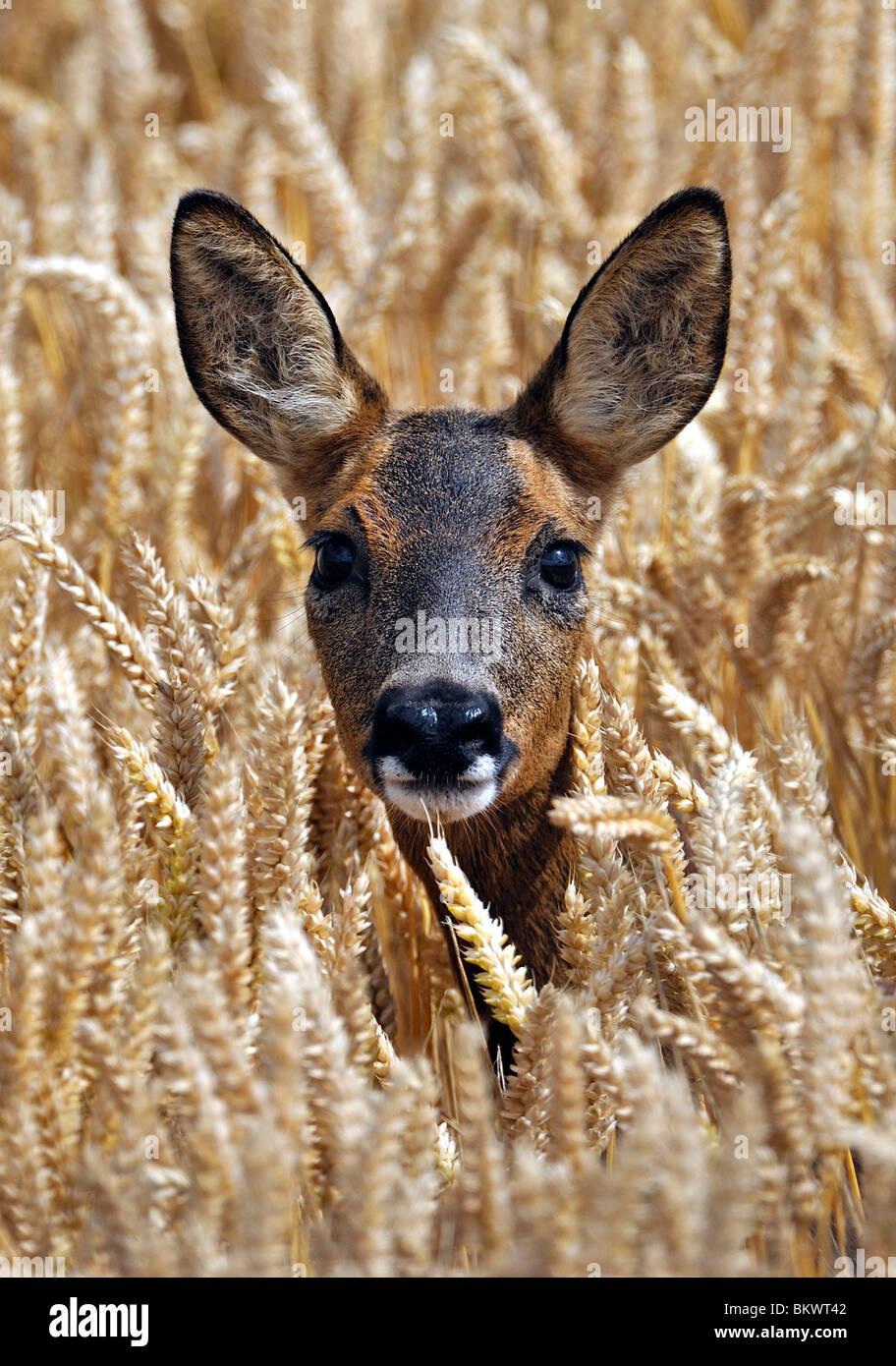 Rehe im Herbst Weizenfeld. Stockbild