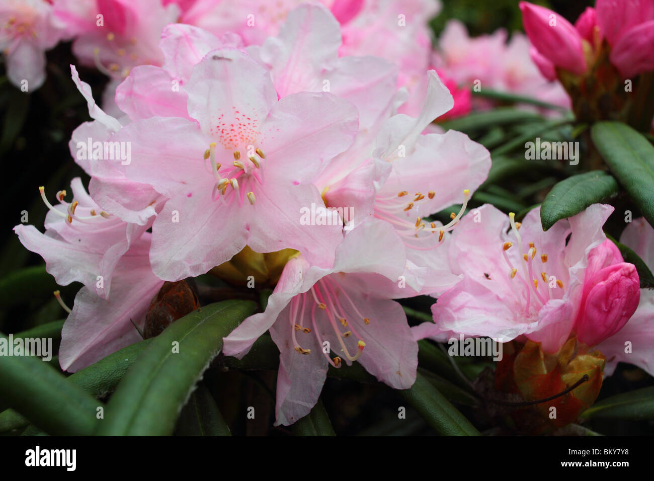rhododendron bl te rosa feder stockfoto bild 29487788 alamy. Black Bedroom Furniture Sets. Home Design Ideas