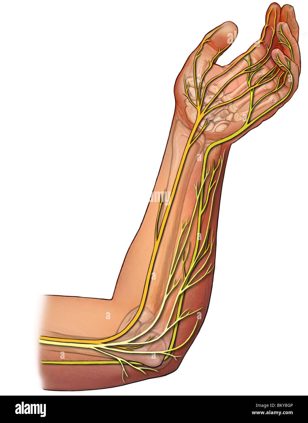 Dieses Bild zeigt die Innervation der Unterarm mit der Median, ulnar ...