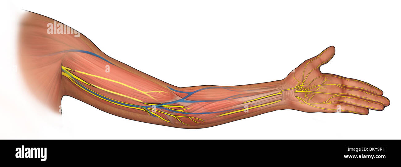Offenen Arm zeigt Muskeln, Gefäßsystem und Innervation Stockfoto ...