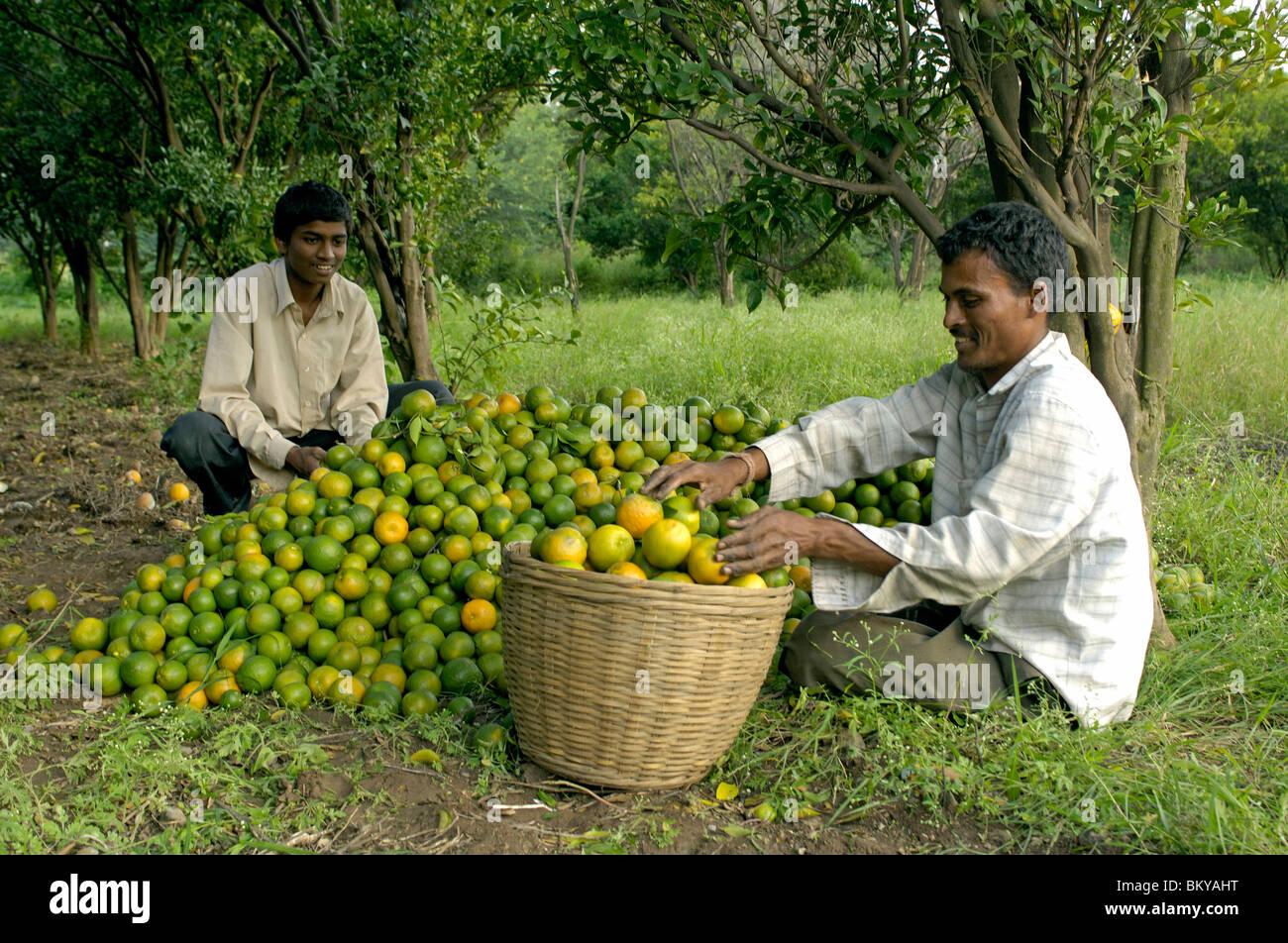 Orange Früchte Ausbeute an Ralegan Siddhi nahe Pune, Maharashtra, Indien Stockbild