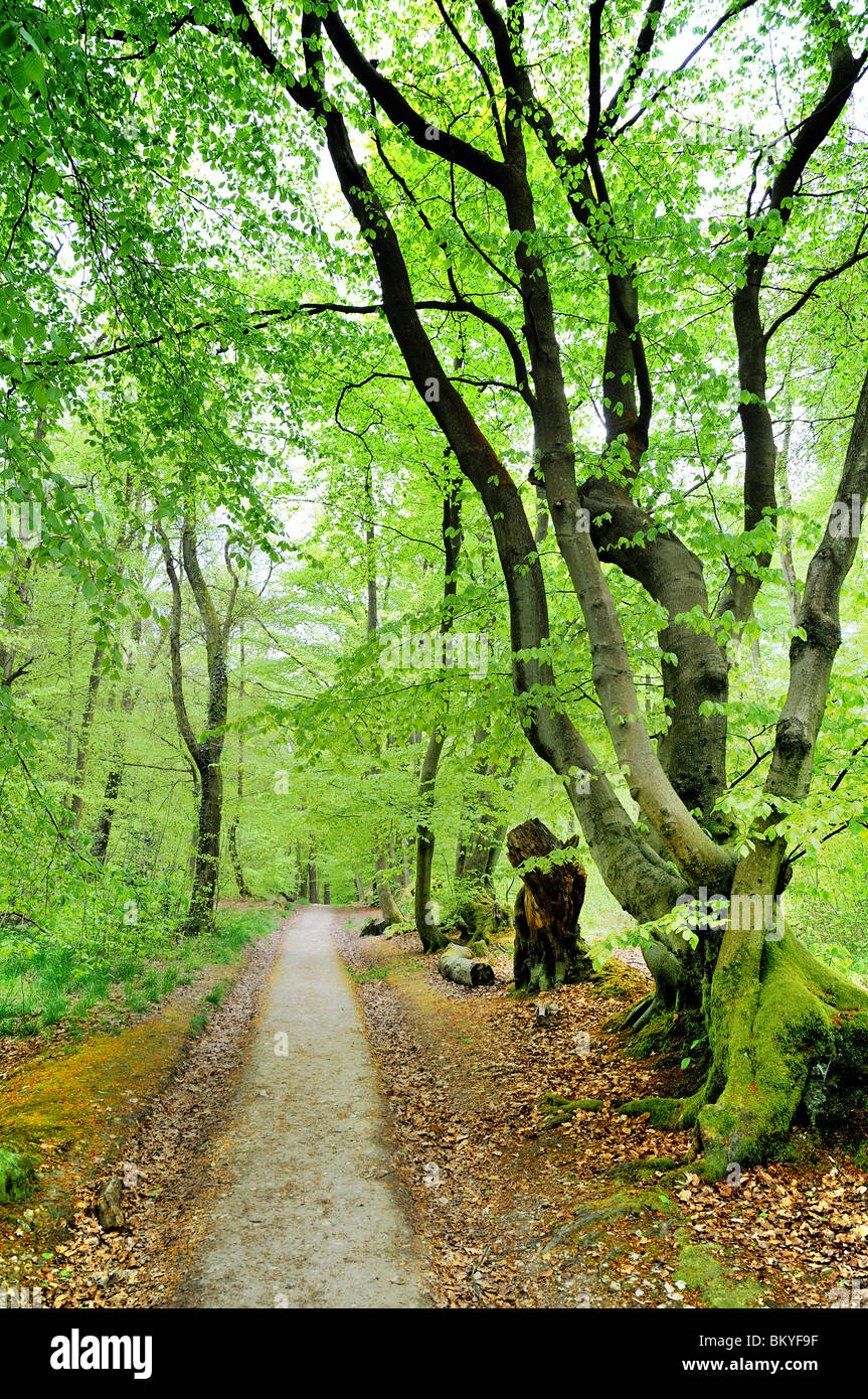 Wald-Pfad auf die Surrey North Downs Stockbild