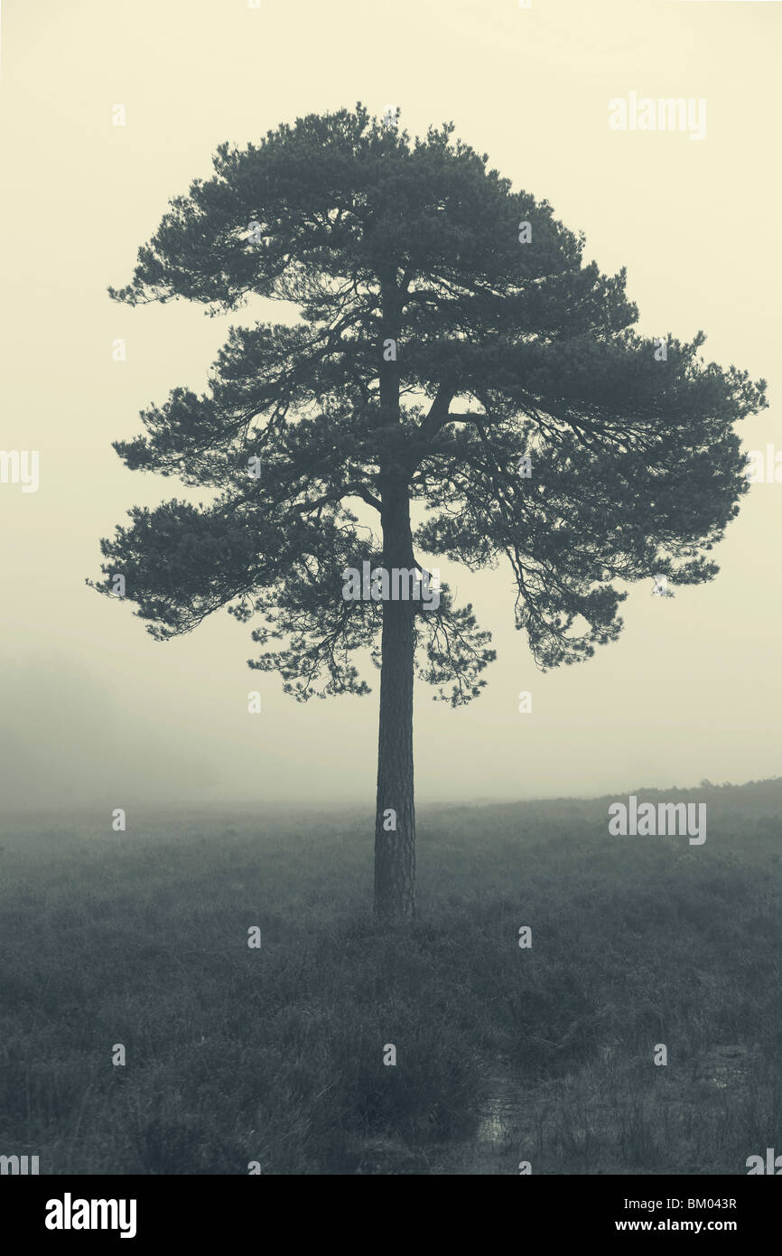 Baum im Nebel im Morgengrauen, New Forest, Hampshire, UK Stockfoto