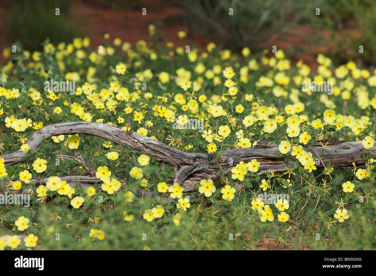 Duwweltjie Blumen Tribulus Terrestris Kalahari Wste Sdafrika