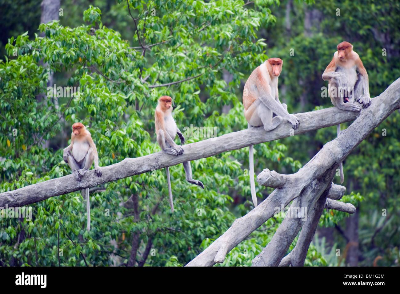 Nasenaffe, Labuk Bay Proboscis Monkey Sanctuary, Sabah, Borneo, Malaysia, Südostasien, Asien Stockbild
