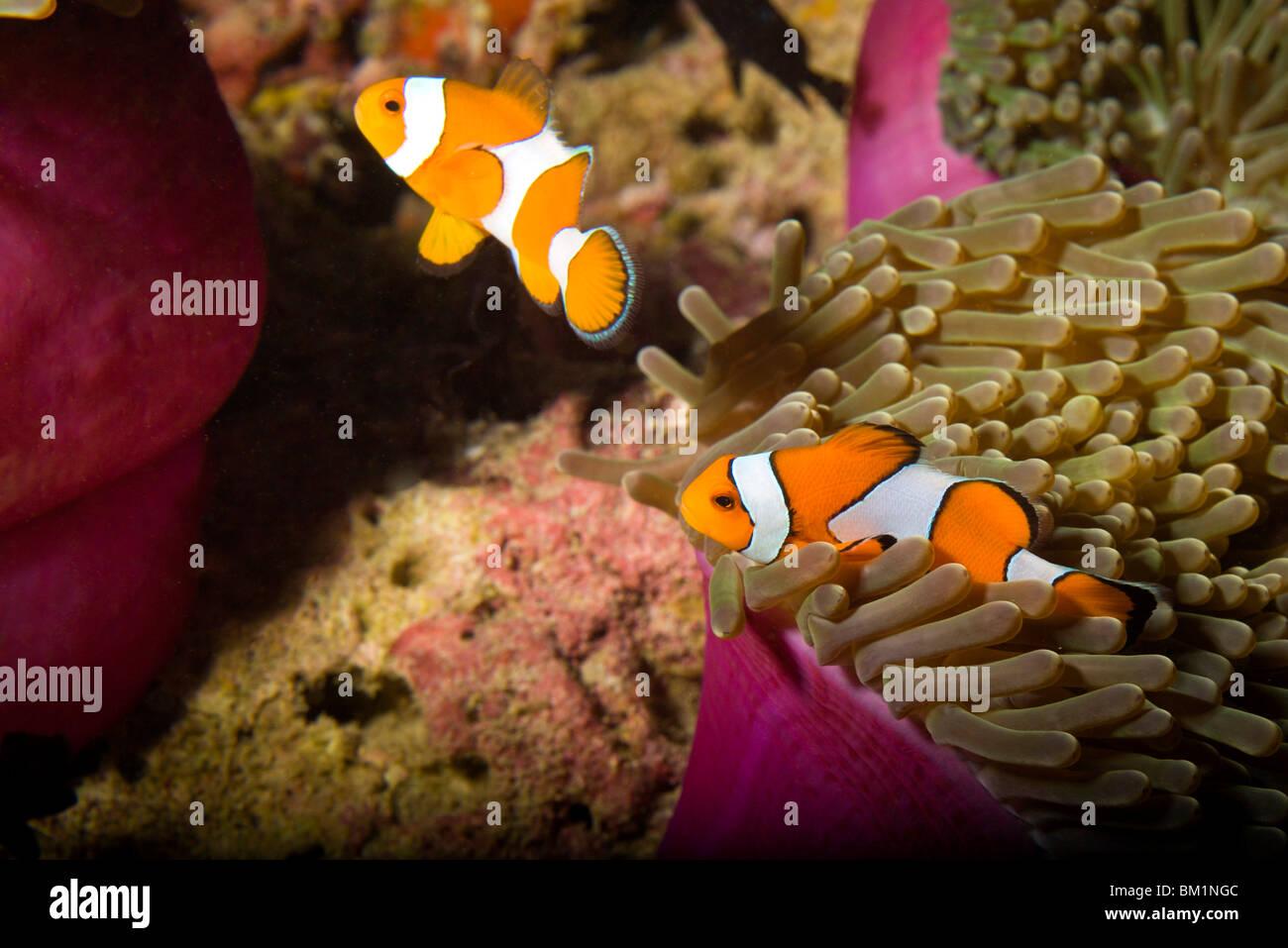 Falscher Clown Anemonenfischen Amphiprion Ocellaris Similan Islands National Marine Park südlich von Phuket Stockbild