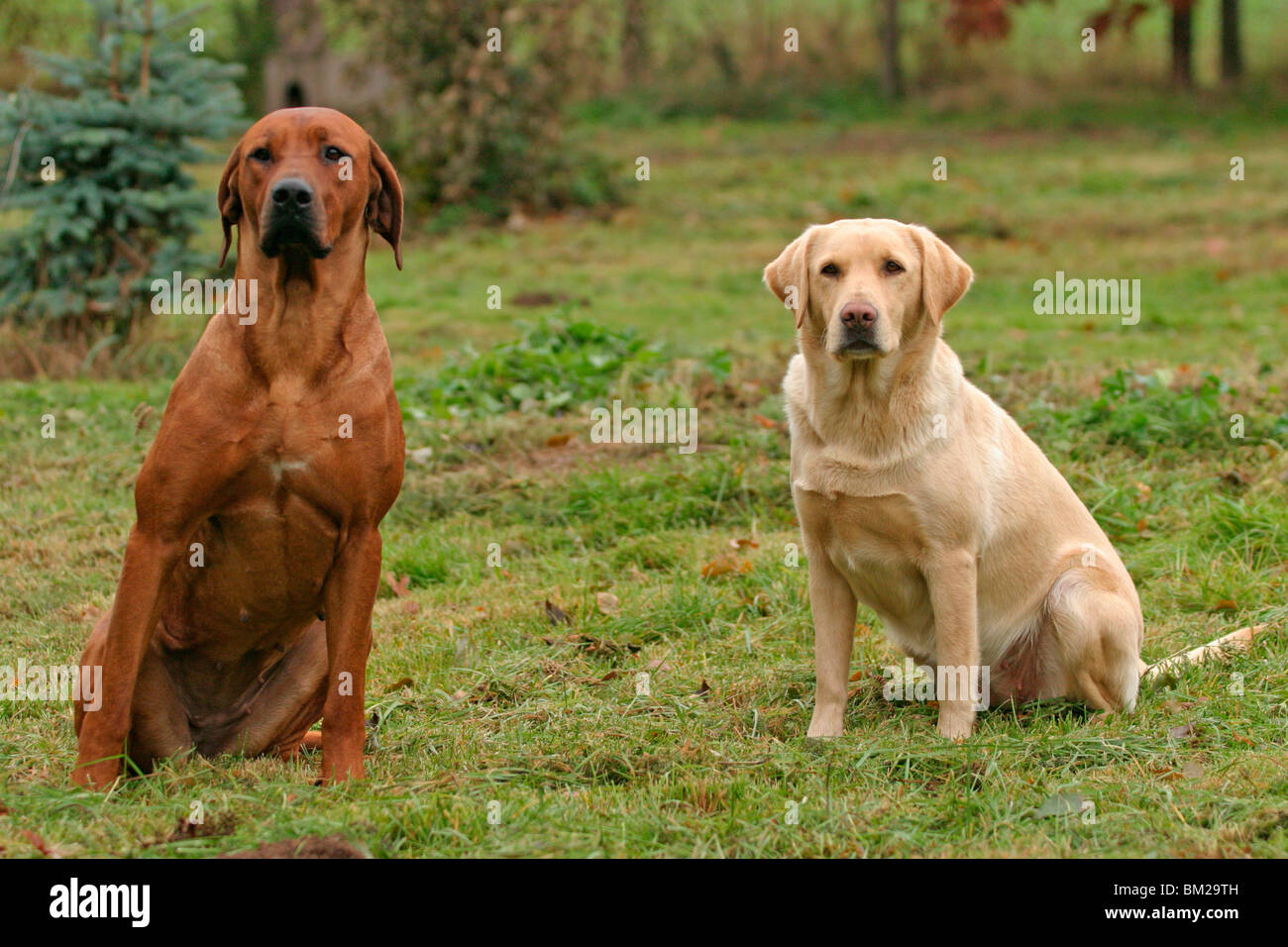 Rhodesian Ridgeback Brown Labrador Retriever Stockfotos Rhodesian