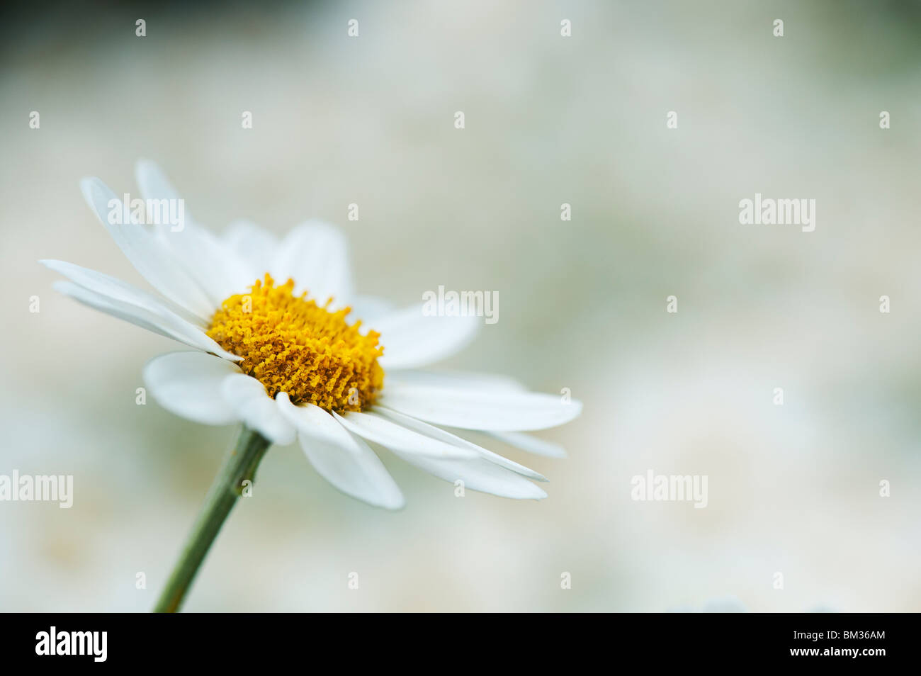 Anthemis Trommler Cupaniana, sizilianische Kamille Blume Stockbild