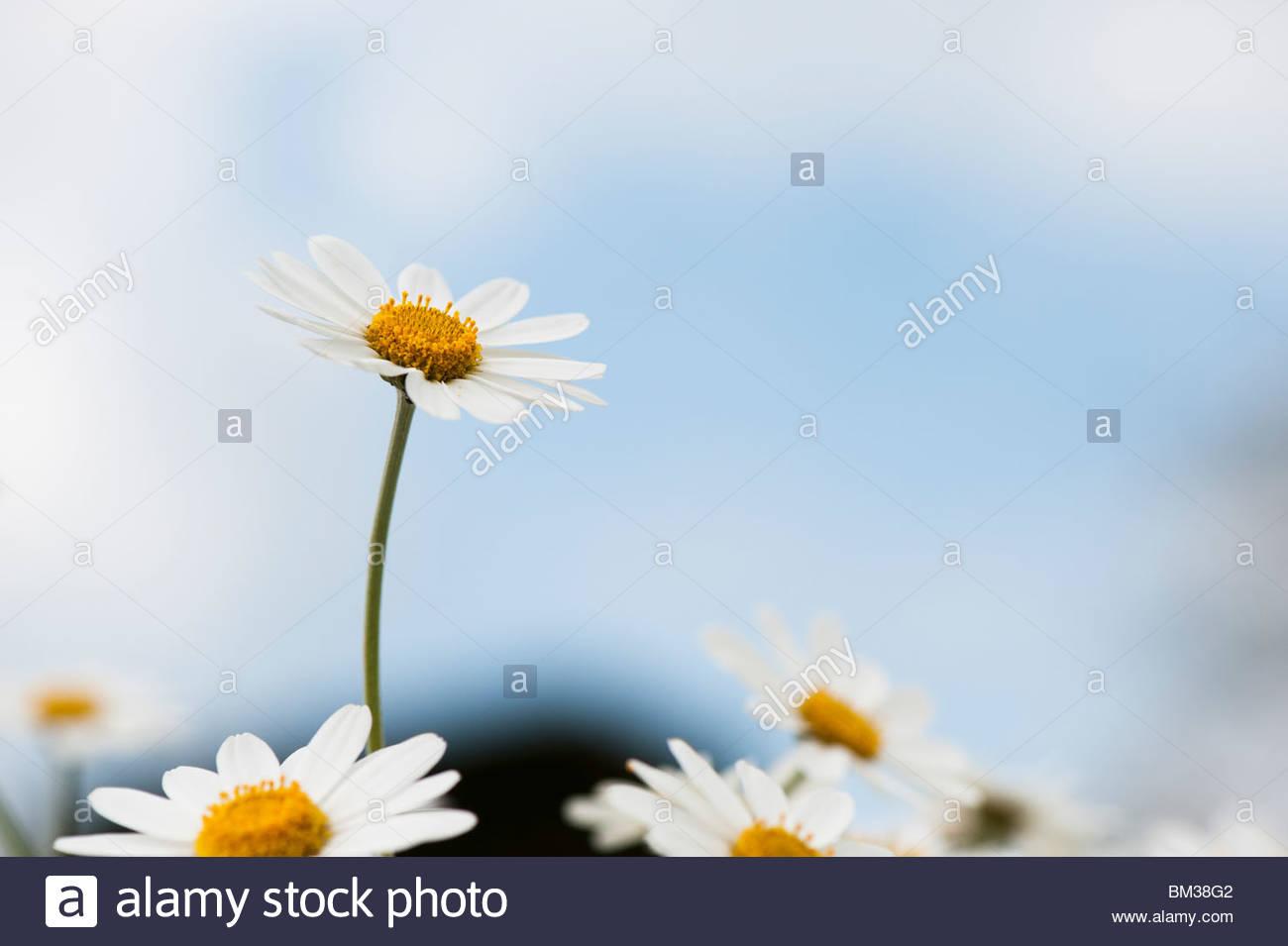Anthemis Trommler Cupaniana, sizilianische Kamillenblüten Stockbild