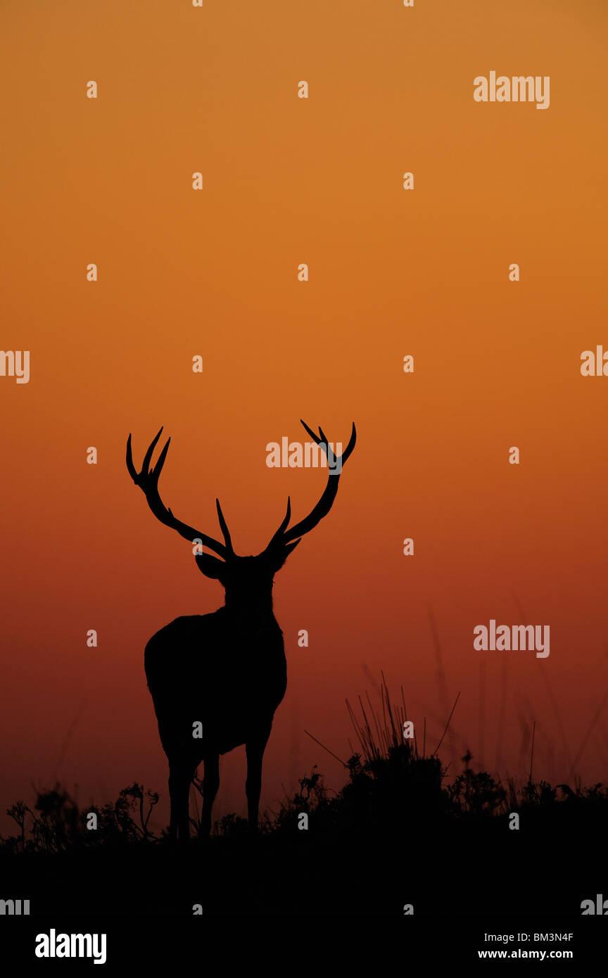 Rothirsch (Cervus Elaphus). Hirsch Silhouette in der Abenddämmerung. Stockfoto
